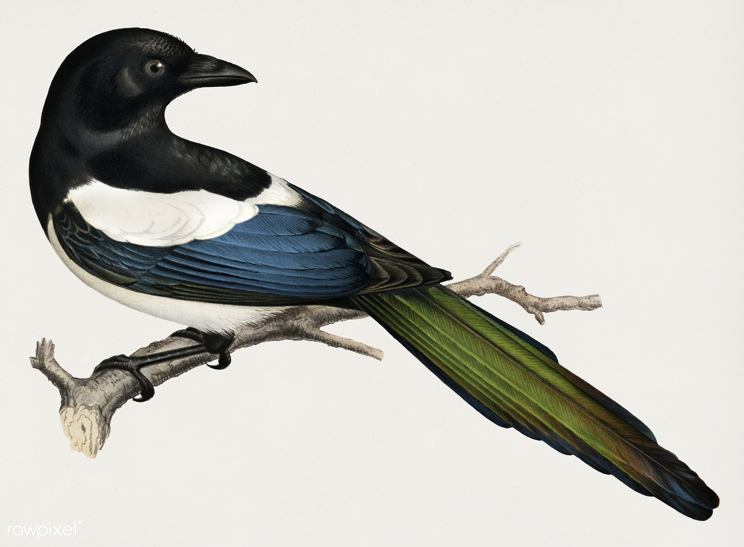 Eurasian magpie (PICA PICA) illustrated by the von Wright brothers. Digitally enhanced from our own 1929 folio version of...