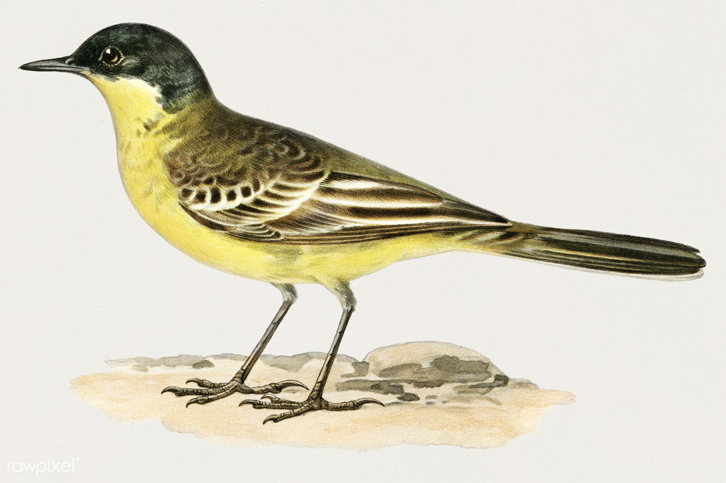 Grey-headed Wagtail (MOTACILLA (BUDYTES) FLAVA THUNBERGI) illustrated by the von Wright brothers. Digitally enhanced from...