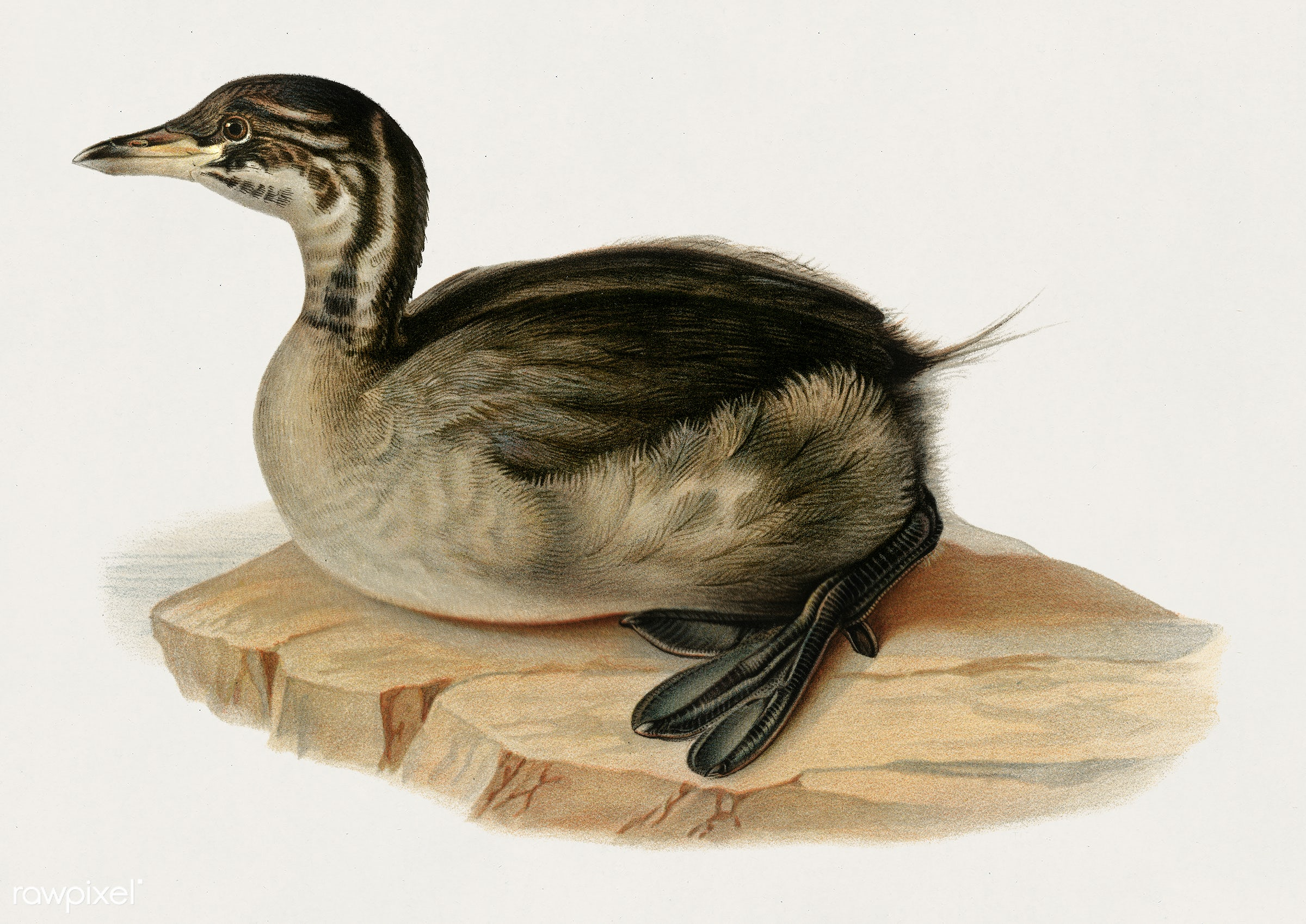 Young horned grebe (PODICEPS AURITUS) illustrated by the von Wright brothers. Digitally enhanced from our own 1929 folio...