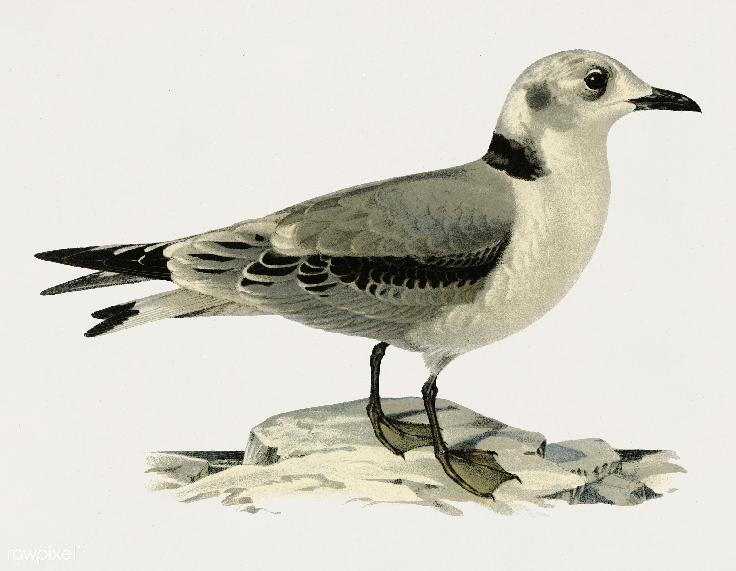 Black-legged kittiwake (Rissa Tridactyla) illustrated by the von Wright brothers. Digitally enhanced from our own 1929 folio...
