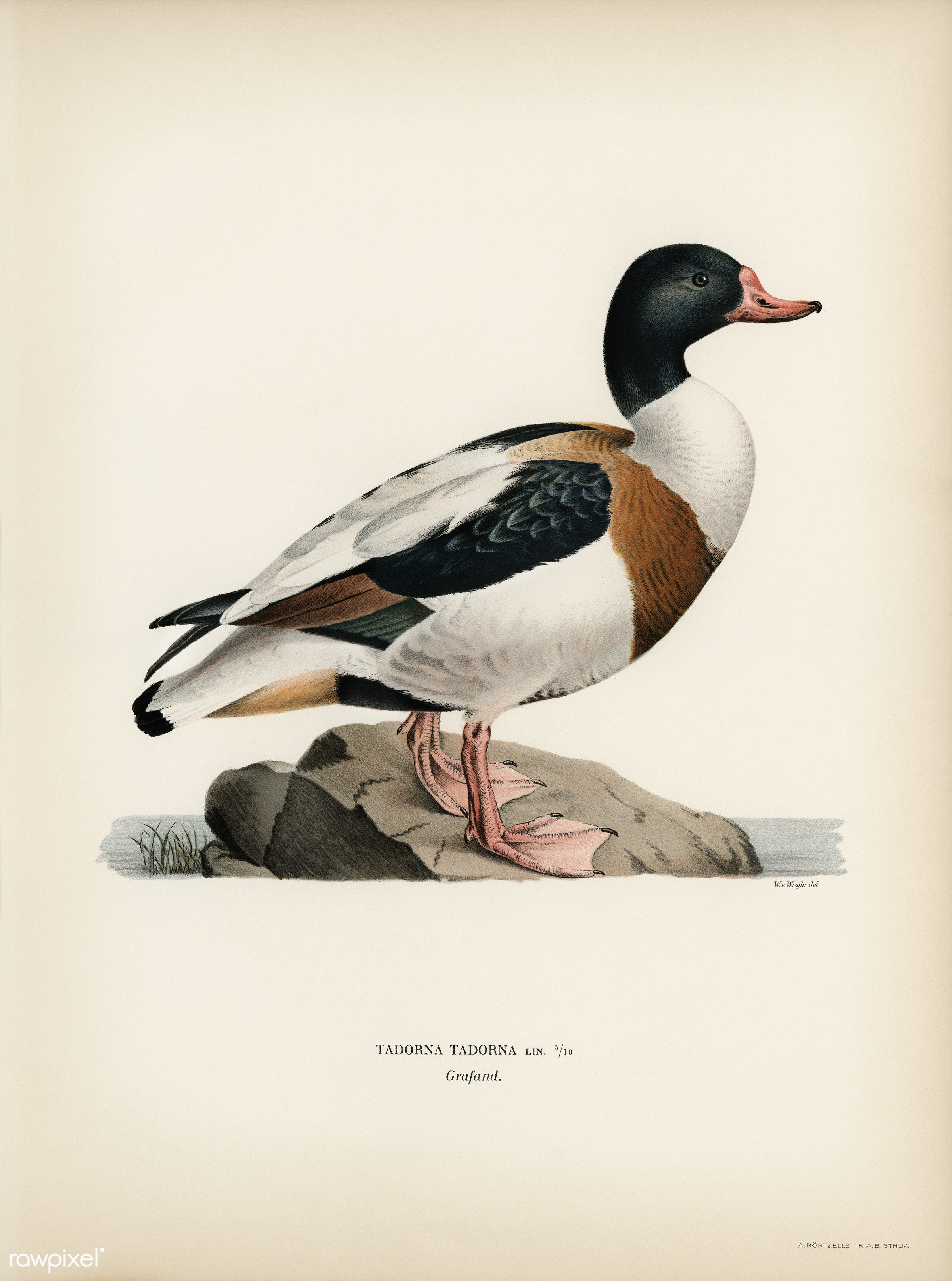 Shelduck (TADORNA TADORNA) illustrated by the von Wright brothers. Digitally enhanced from our own 1929 folio version of...