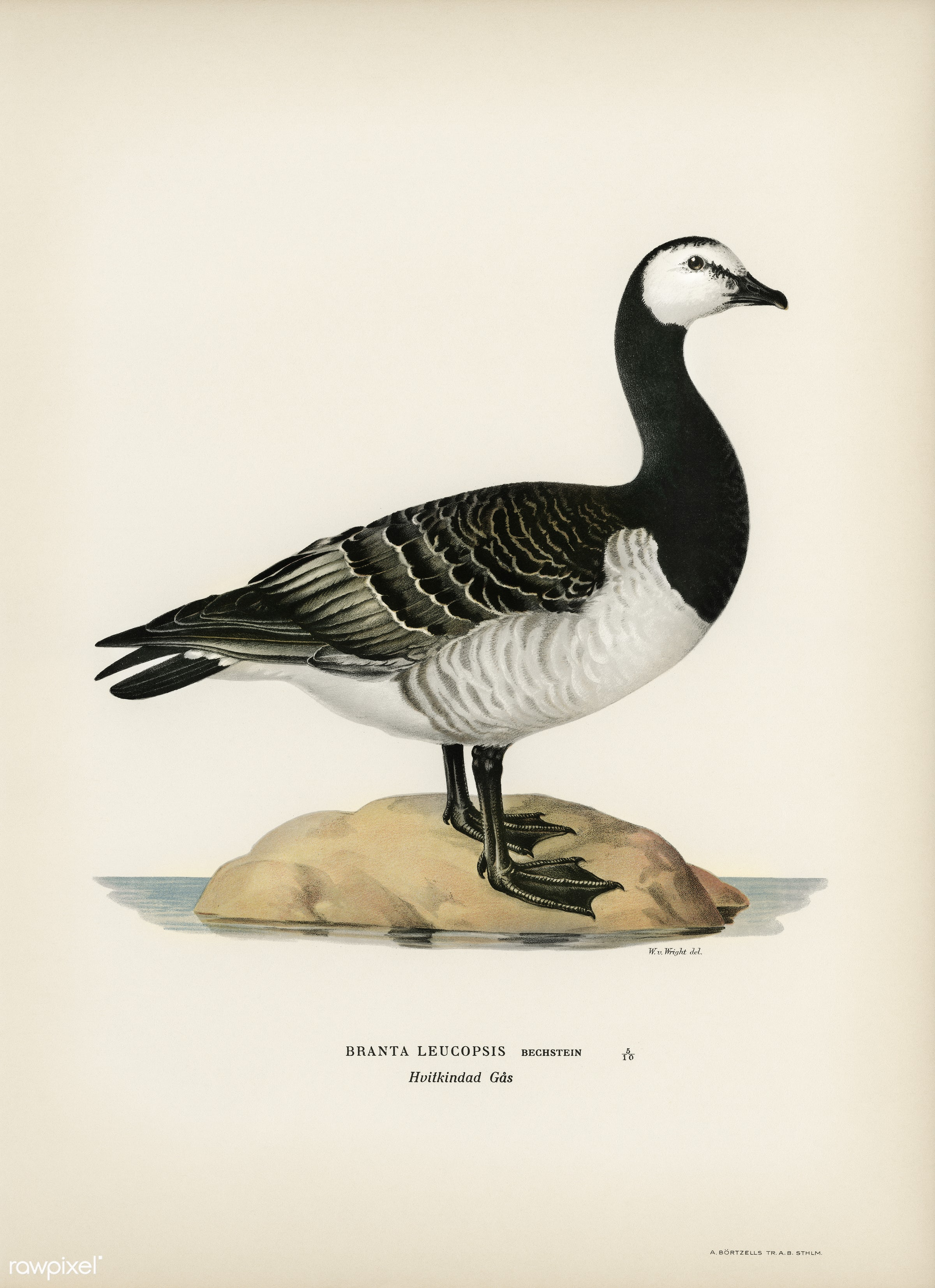 Barnacle Goose (BRANTA LEUCOPSIS) illustrated by the von Wright brothers. Digitally enhanced from our own 1929 folio version...