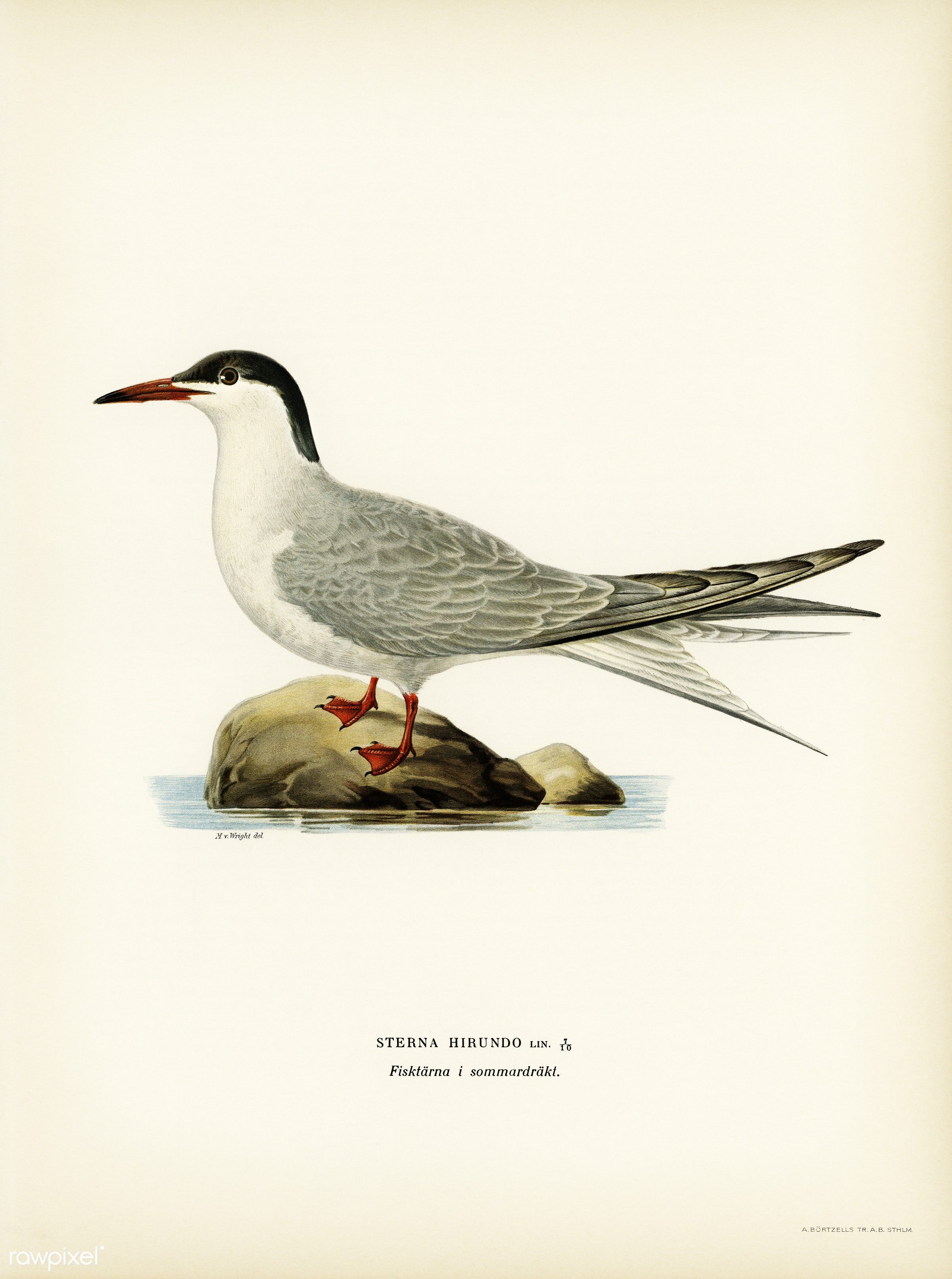 Common tern (STERNA HIRUNDO) illustrated by the von Wright brothers. Digitally enhanced from our own 1929 folio version of...