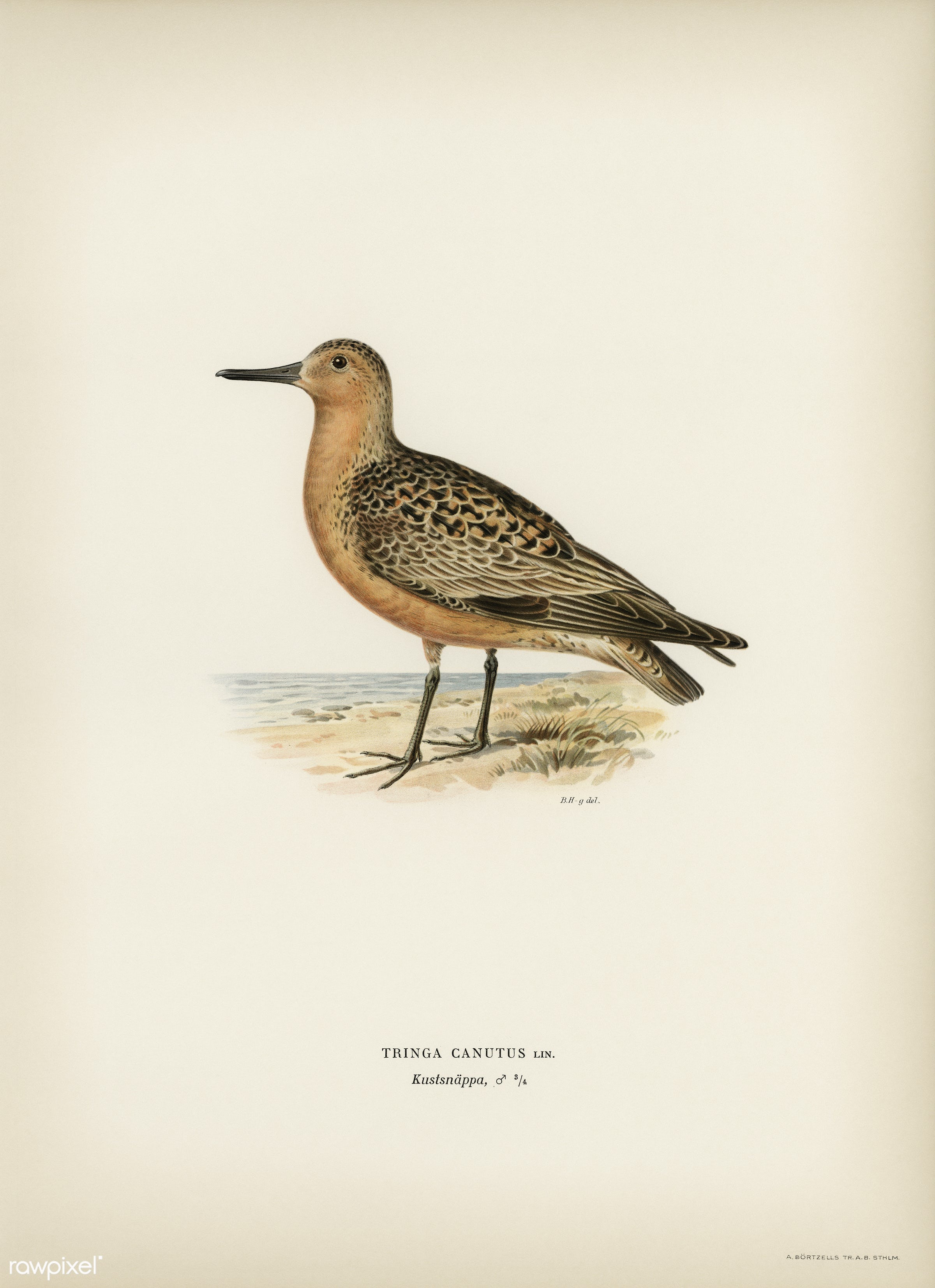 Red Knot ♂ (Tringa Canutus) illustrated by the von Wright brothers. Digitally enhanced from our own 1929 folio version of...