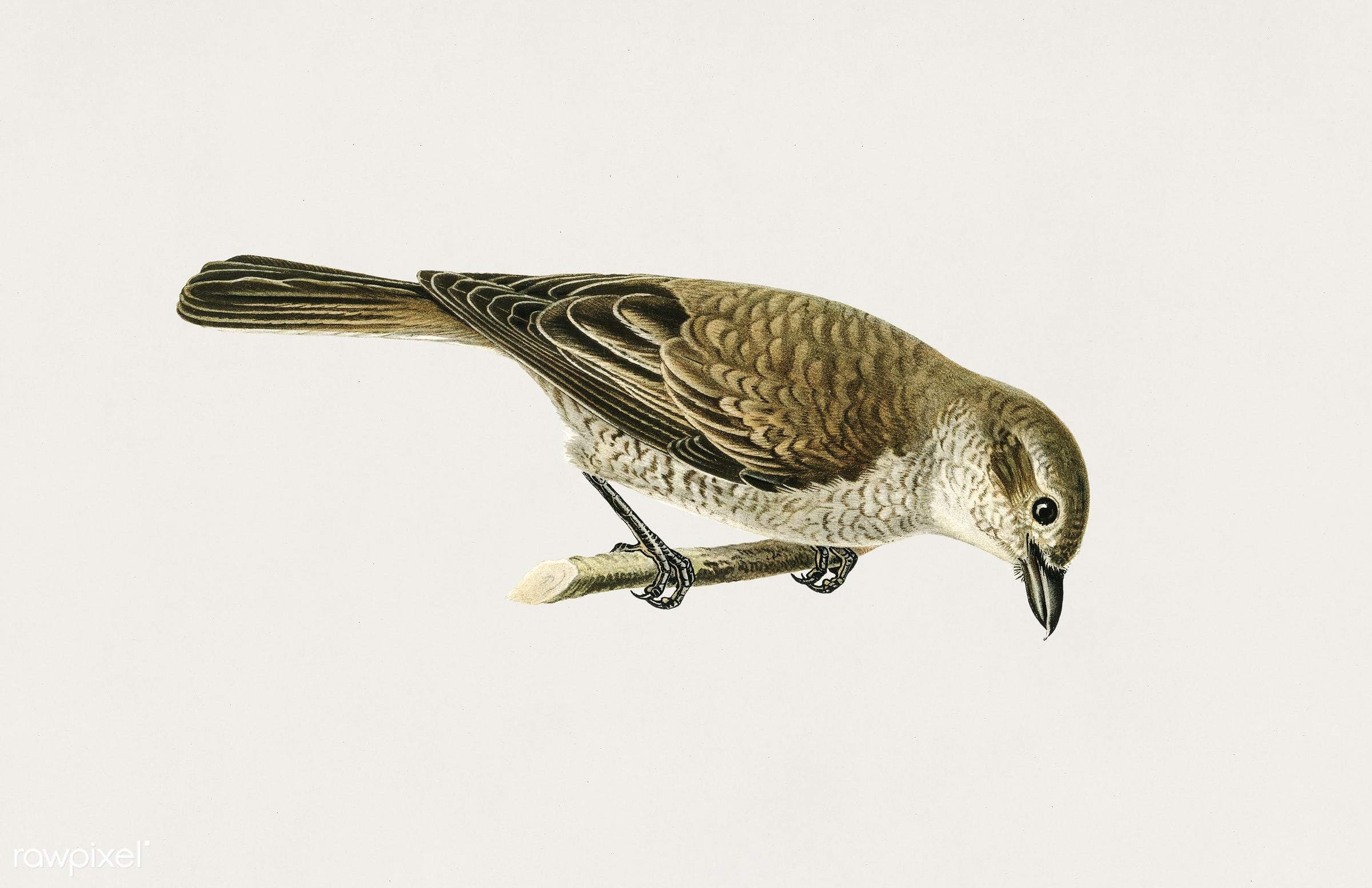 Red-backed Shrike female (Lanius collurio) illustrated by the von Wright brothers. Digitally enhanced from our own 1929...
