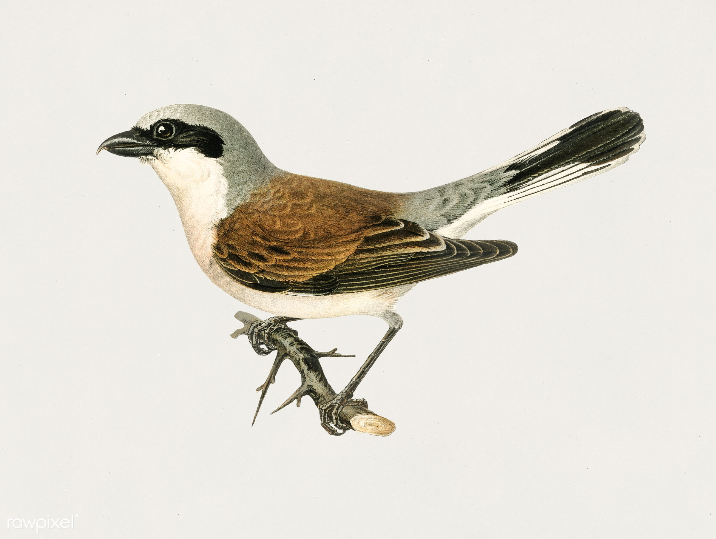 Red-backed Shrike male (Lanius collurio) illustrated by the von Wright brothers. Digitally enhanced from our own 1929 folio...