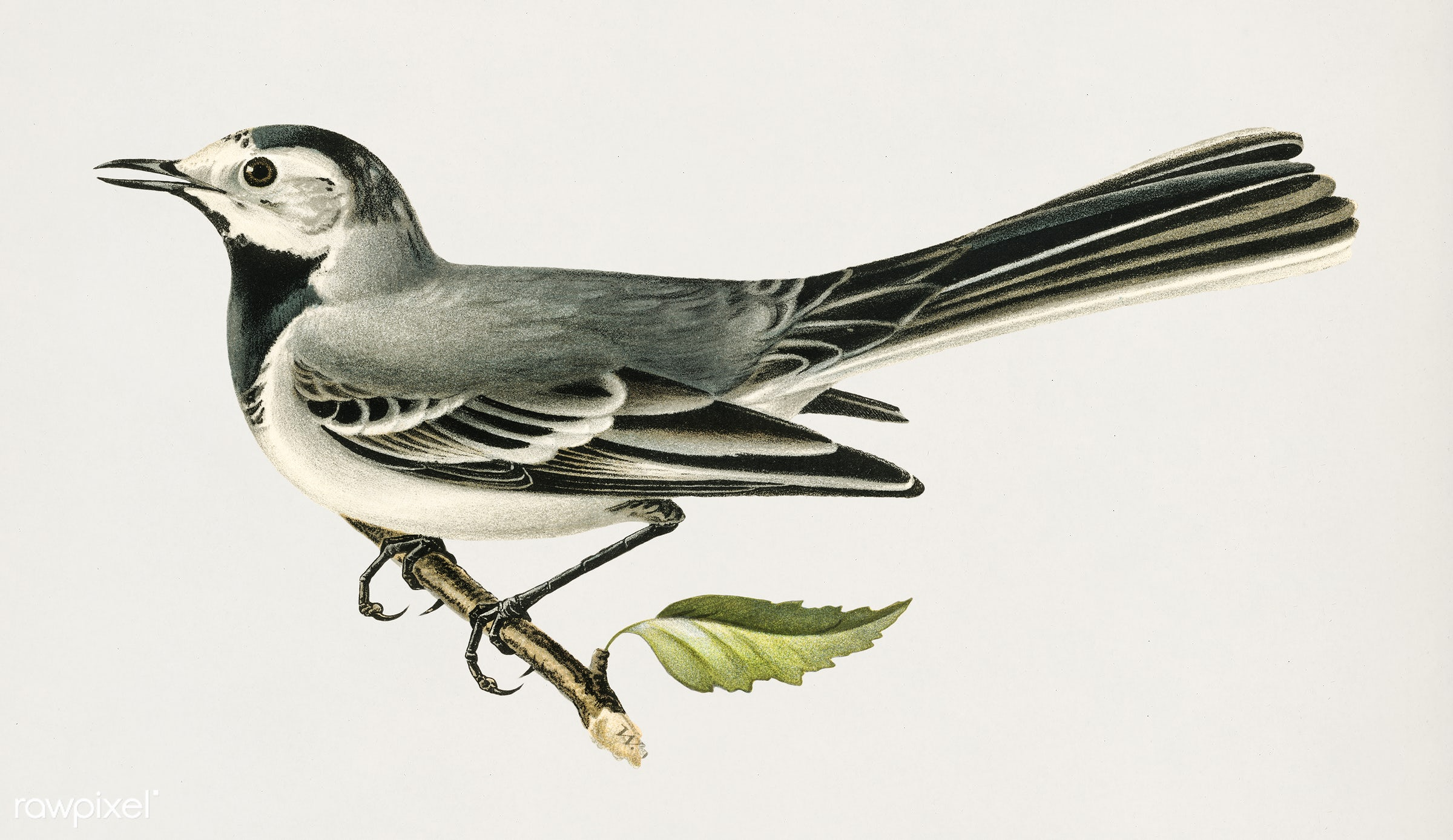 Pied wagtail female (Motacilla alba) illustrated by the von Wright brothers. Digitally enhanced from our own 1929 folio...
