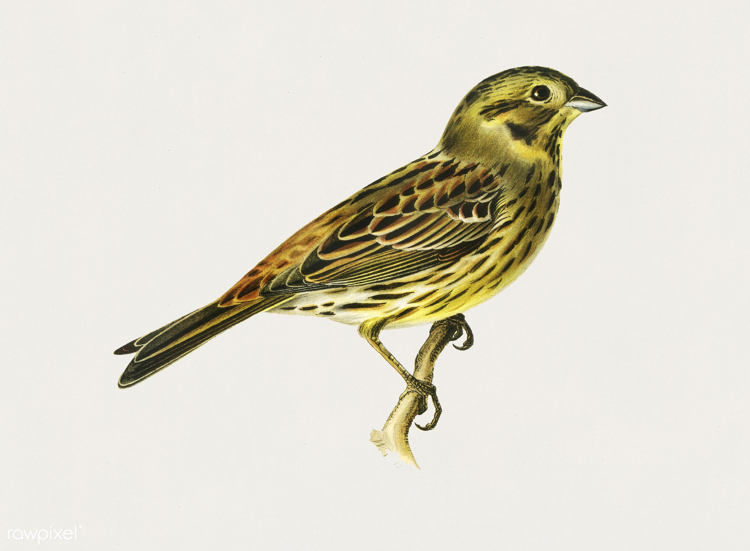 Yellowhammer female (Emberiza citrinella) illustrated by the von Wright brothers. Digitally enhanced from our own 1929 folio...