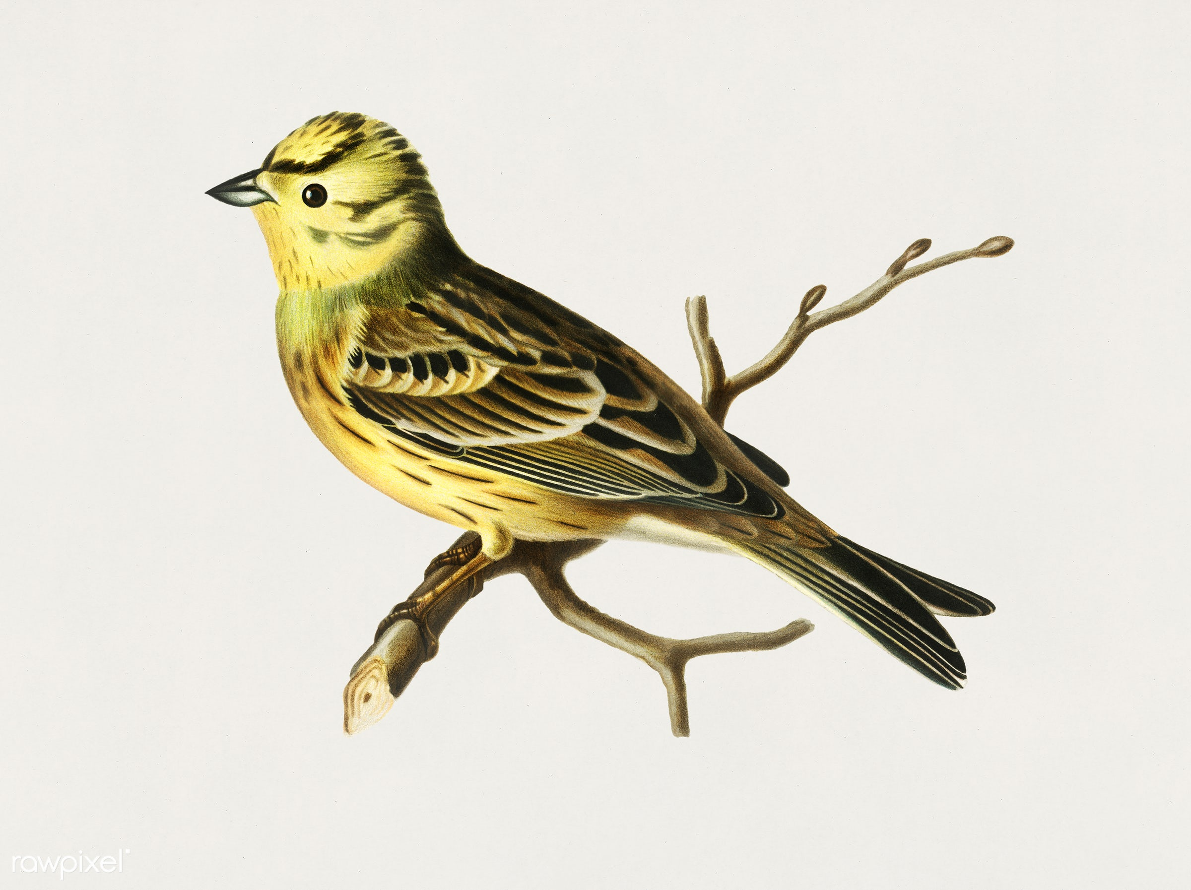 Yellowhammer male (Emberiza citrinella) illustrated by the von Wright brothers. Digitally enhanced from our own 1929 folio...