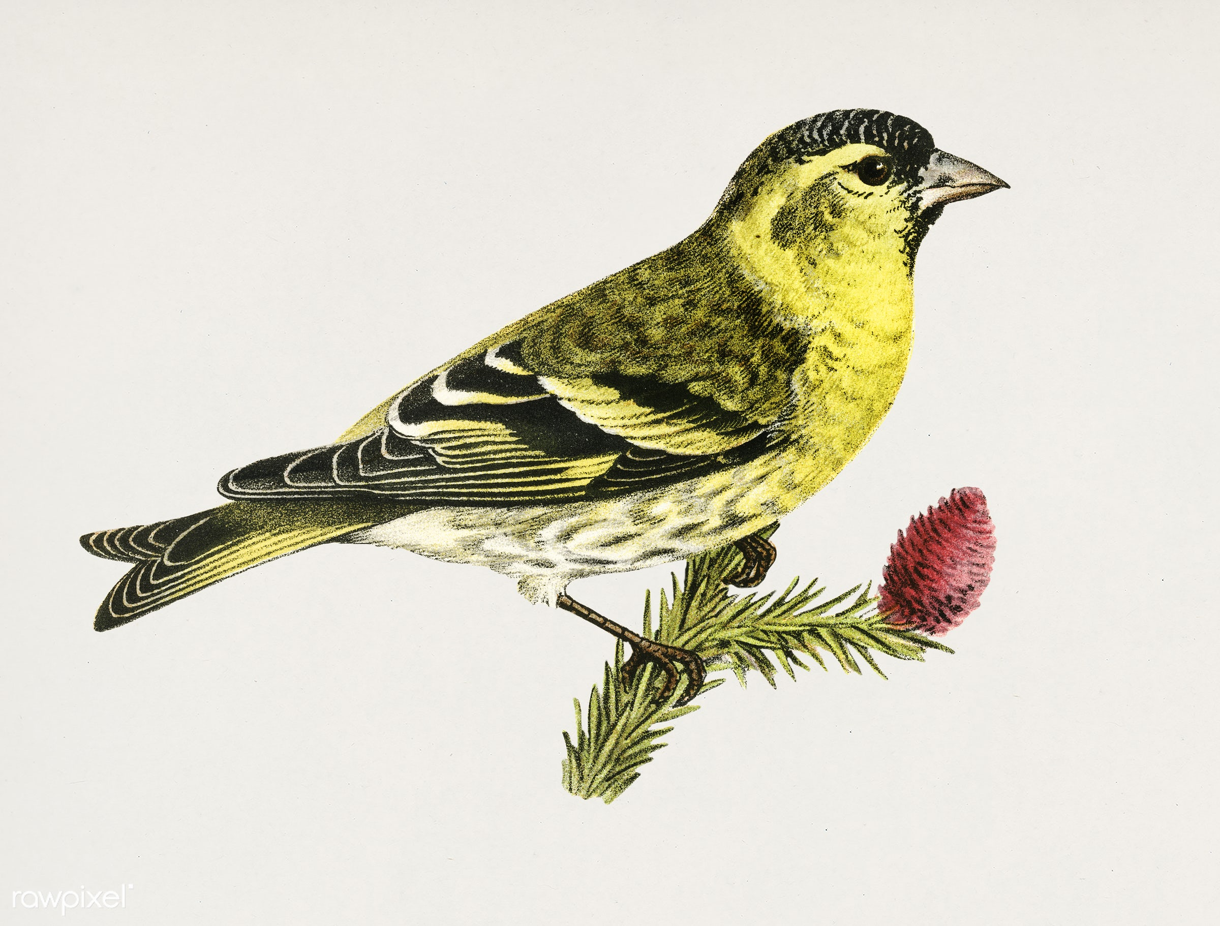 Siskin 1♂ (Spinus spinus) illustrated by the von Wright brothers. Digitally enhanced from our own 1929 folio version of...