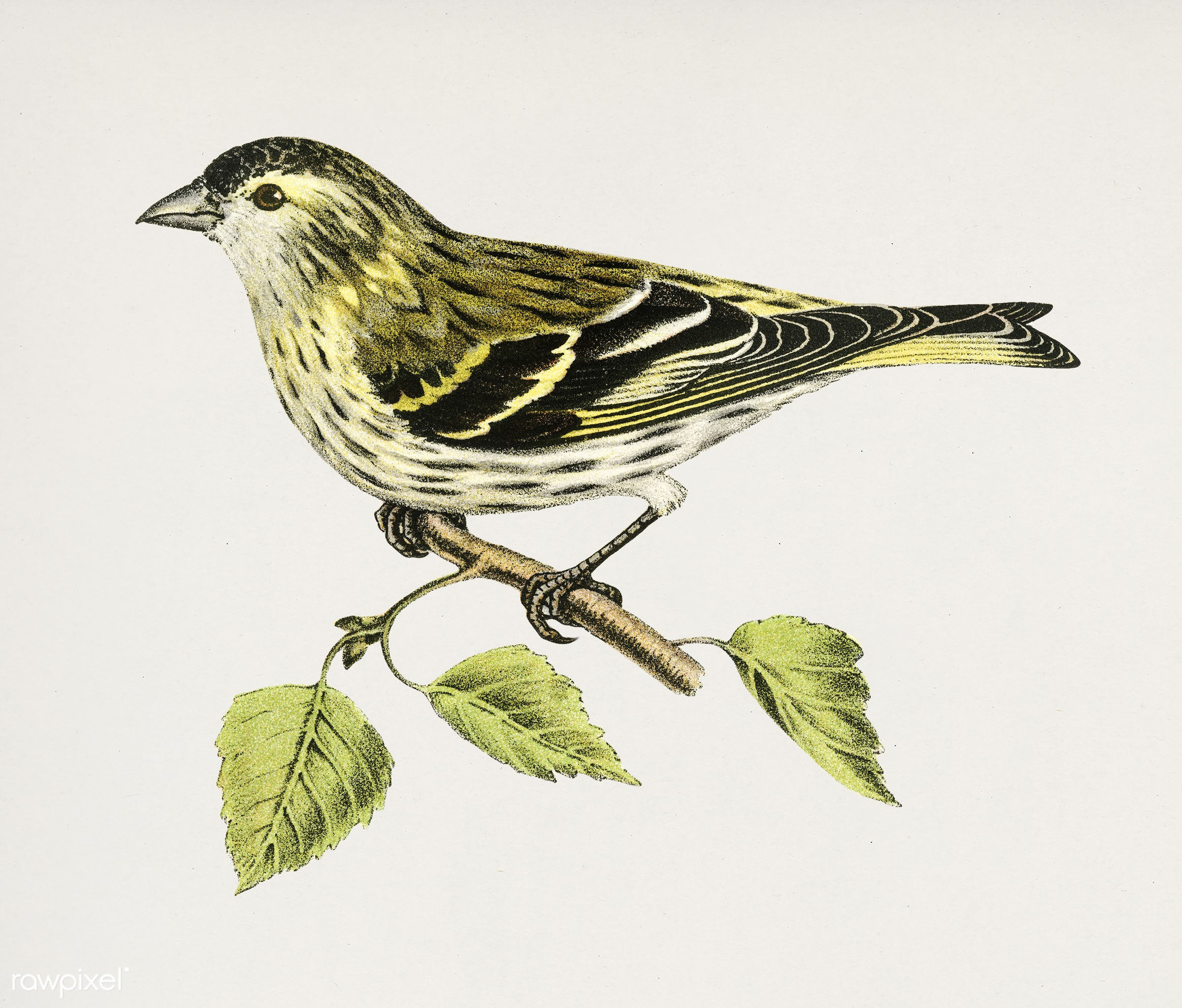 Siskin 2♀ (Spinus spinus) illustrated by the von Wright brothers. Digitally enhanced from our own 1929 folio version of...