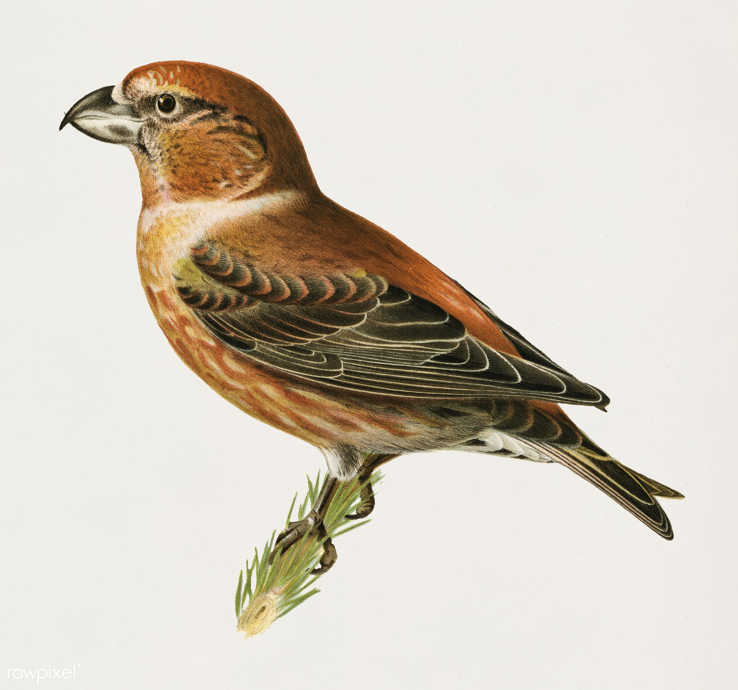 Parrot Crossbill ♂ (Loxia pytyopsittacus) illustrated by the von Wright brothers. Digitally enhanced from our own 1929 folio...