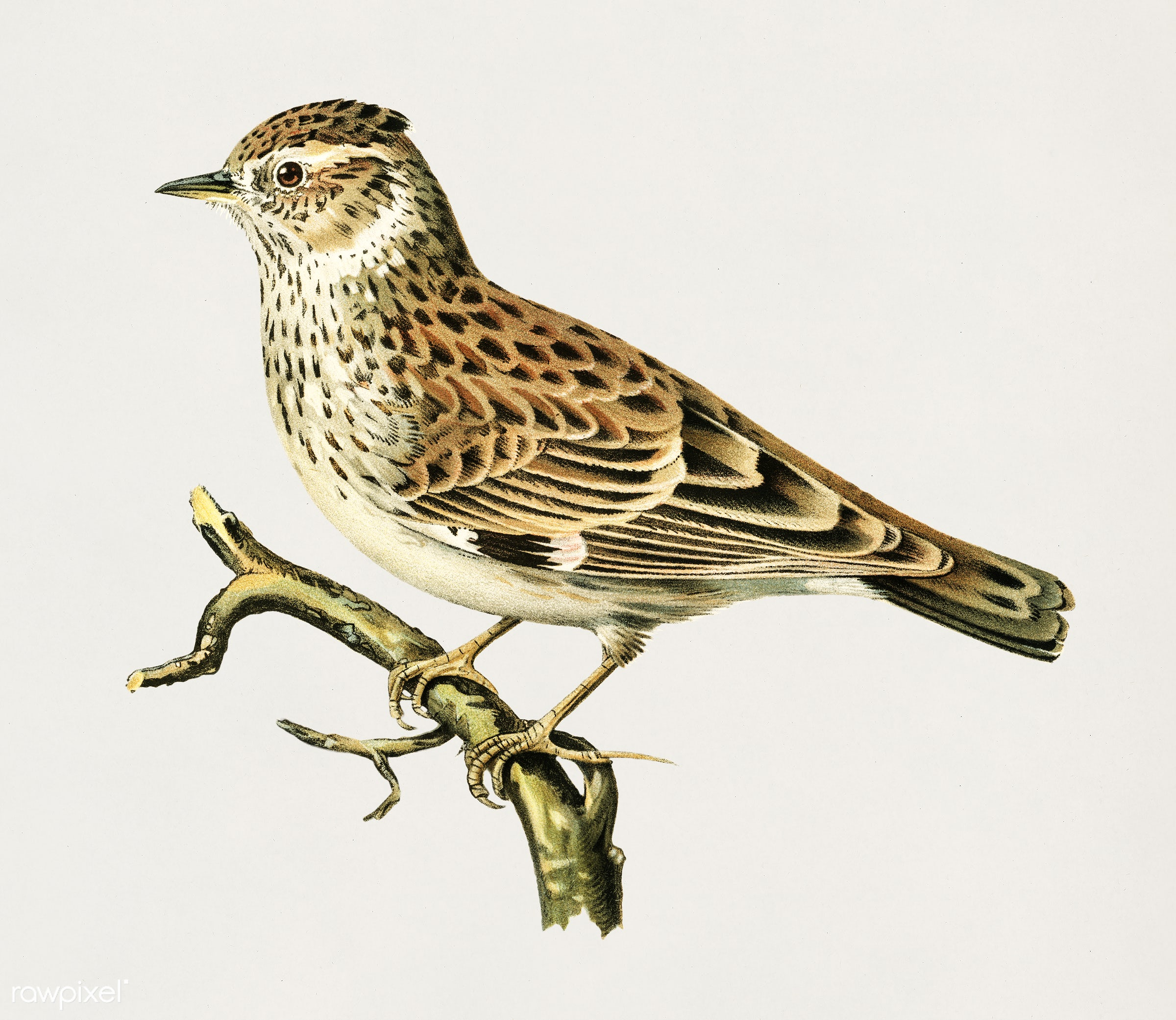 Woodlark (Lullula arborea) illustrated by the von Wright brothers. Digitally enhanced from our own 1929 folio version of...