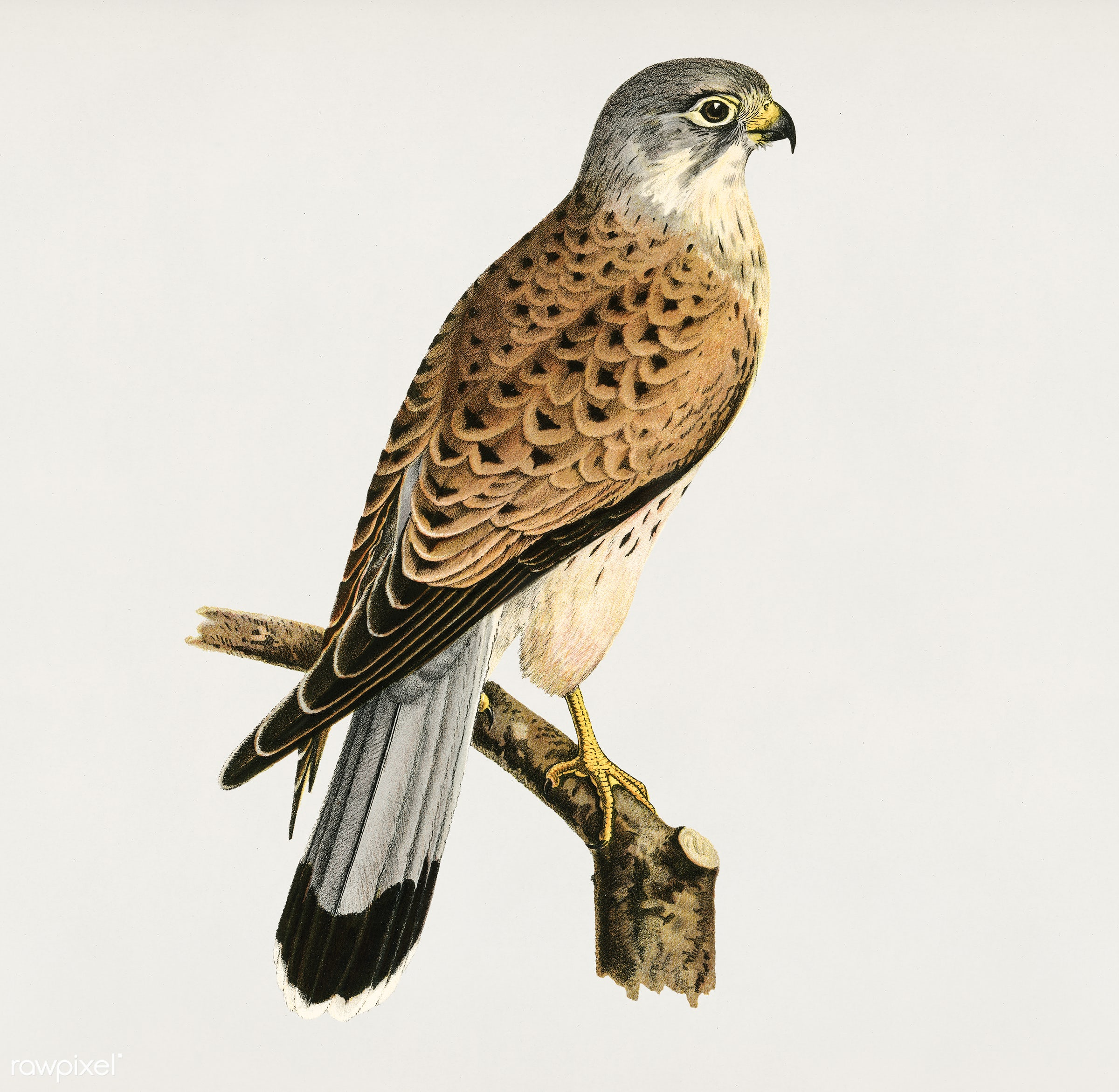 Common Kestrel male (Falco tinnunculus) illustrated by the von Wright brothers. Digitally enhanced from our own 1929 folio...