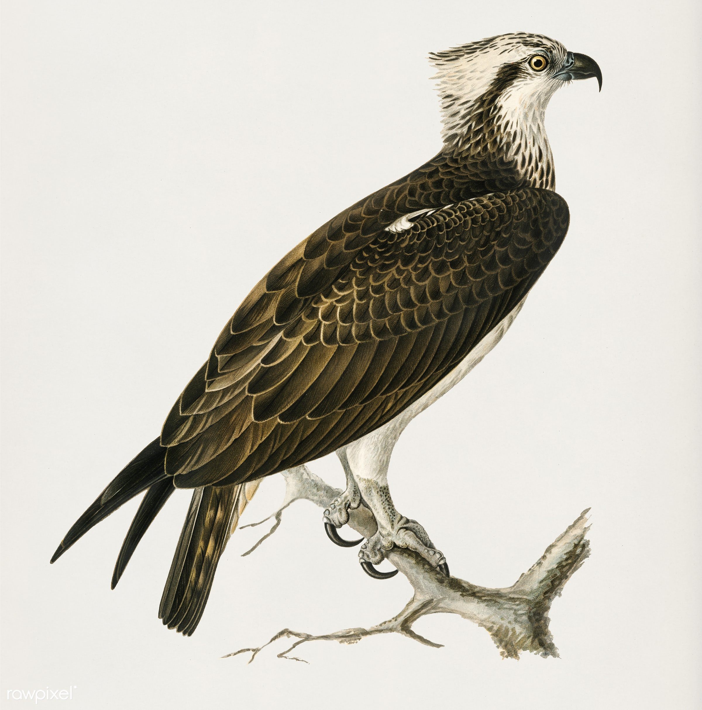 Osprey (Pandion haliaetus) illustrated by the von Wright brothers. Digitally enhanced from our own 1929 folio version of...