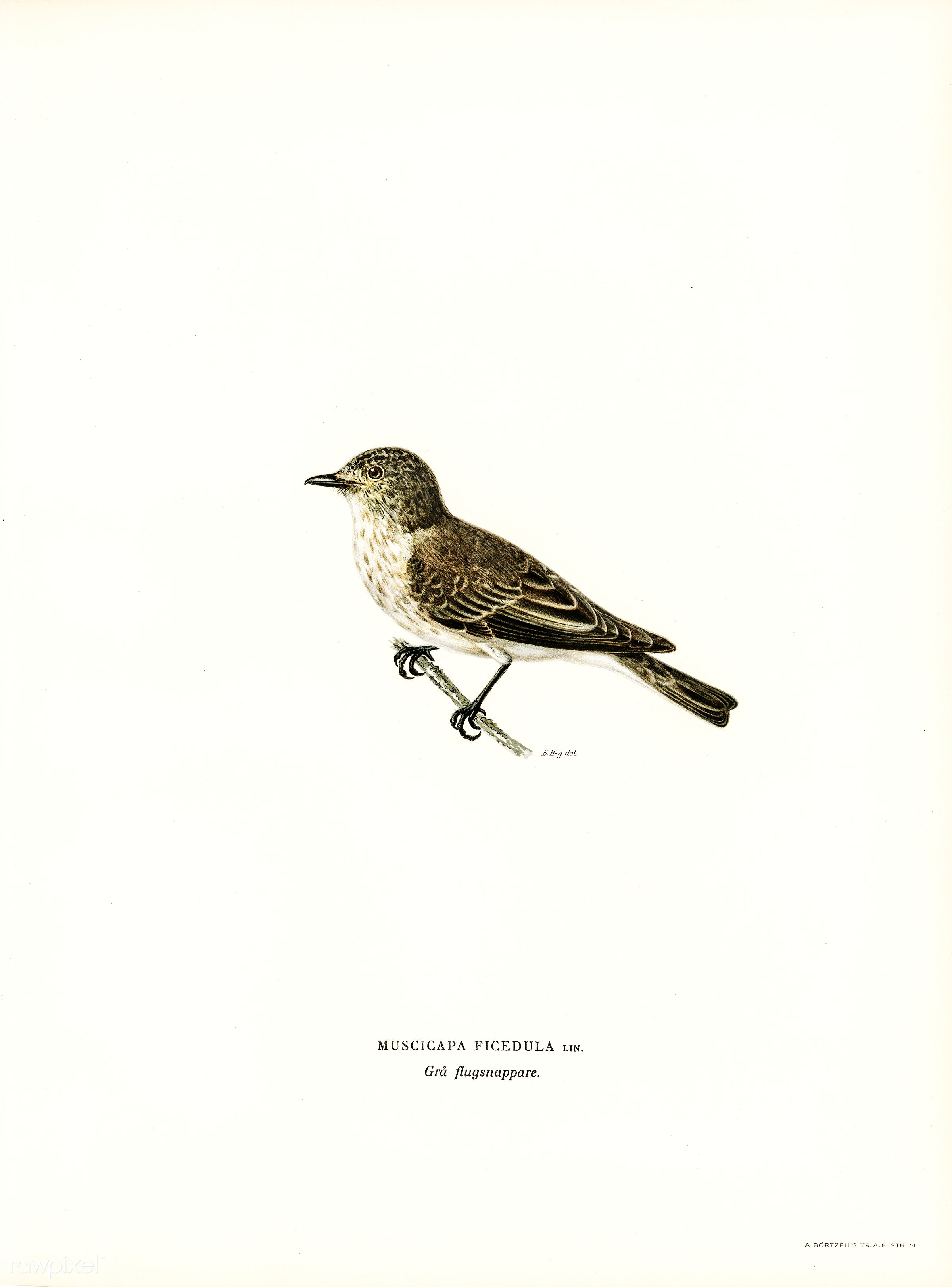 Spotted flycatcher (Muscicapa ficedula) illustrated by the von Wright brothers. Digitally enhanced from our own 1929 folio...