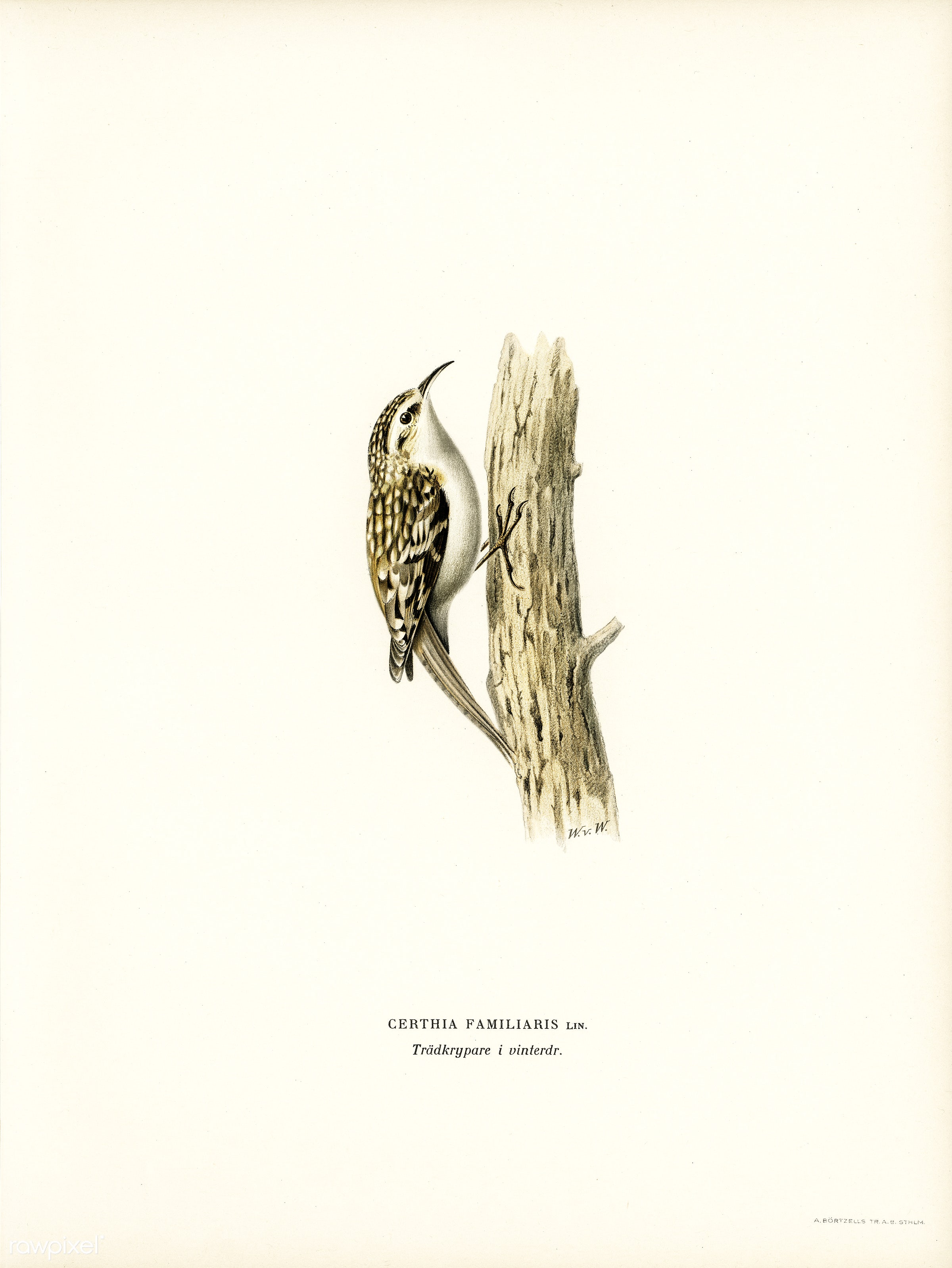 Eurasian treecreeper (Certhia familiaris) illustrated by the von Wright brothers. Digitally enhanced from our own 1929 folio...