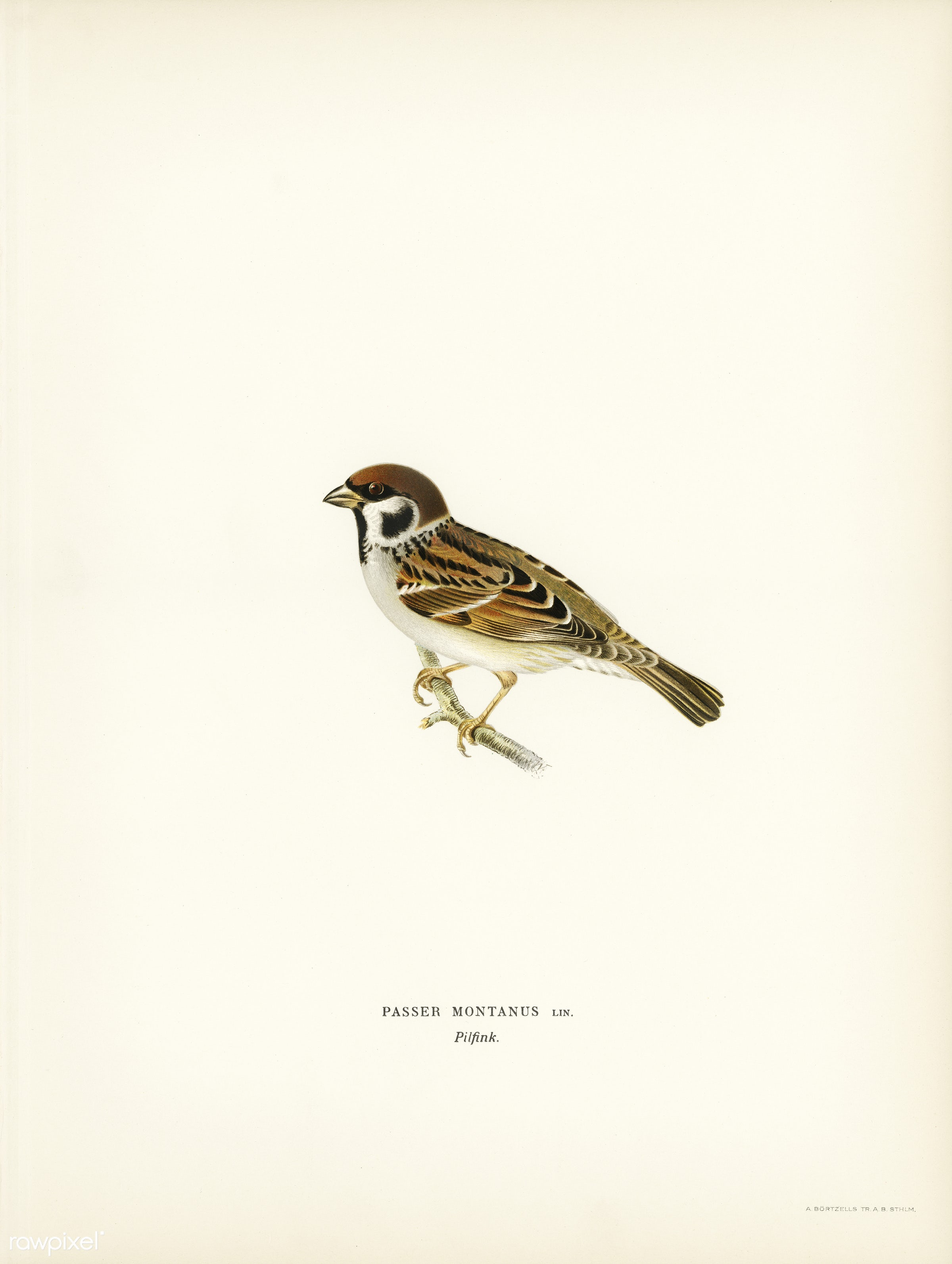 Eurasian Tree Sparrow, Tree Sparrow (Passer montanus) illustrated by the von Wright brothers. Digitally enhanced from our...