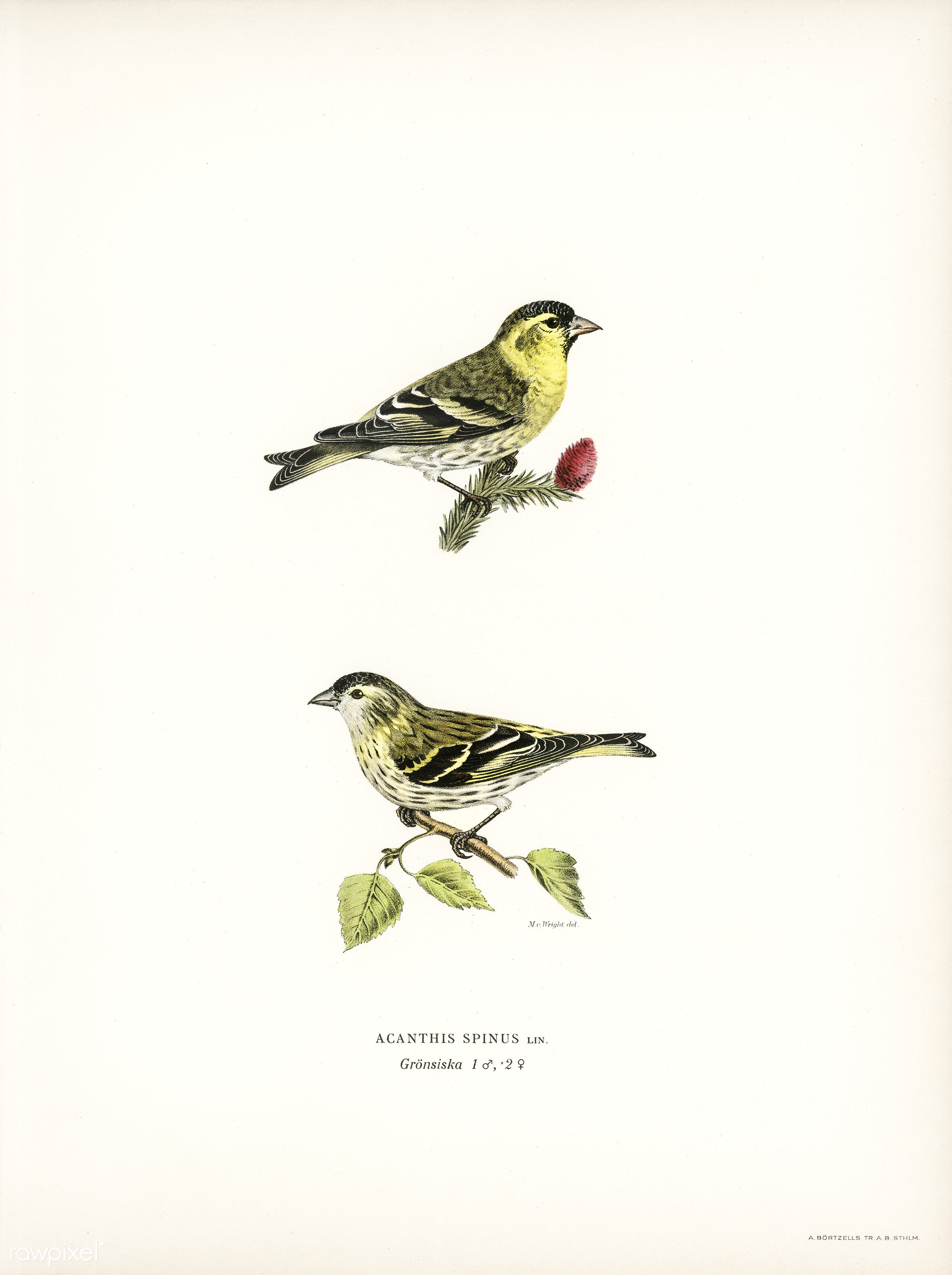 Siskin ( Spinus spinus) 1♂ 2♀ illustrated by the von Wright brothers. Digitally enhanced from our own 1929 folio version of...