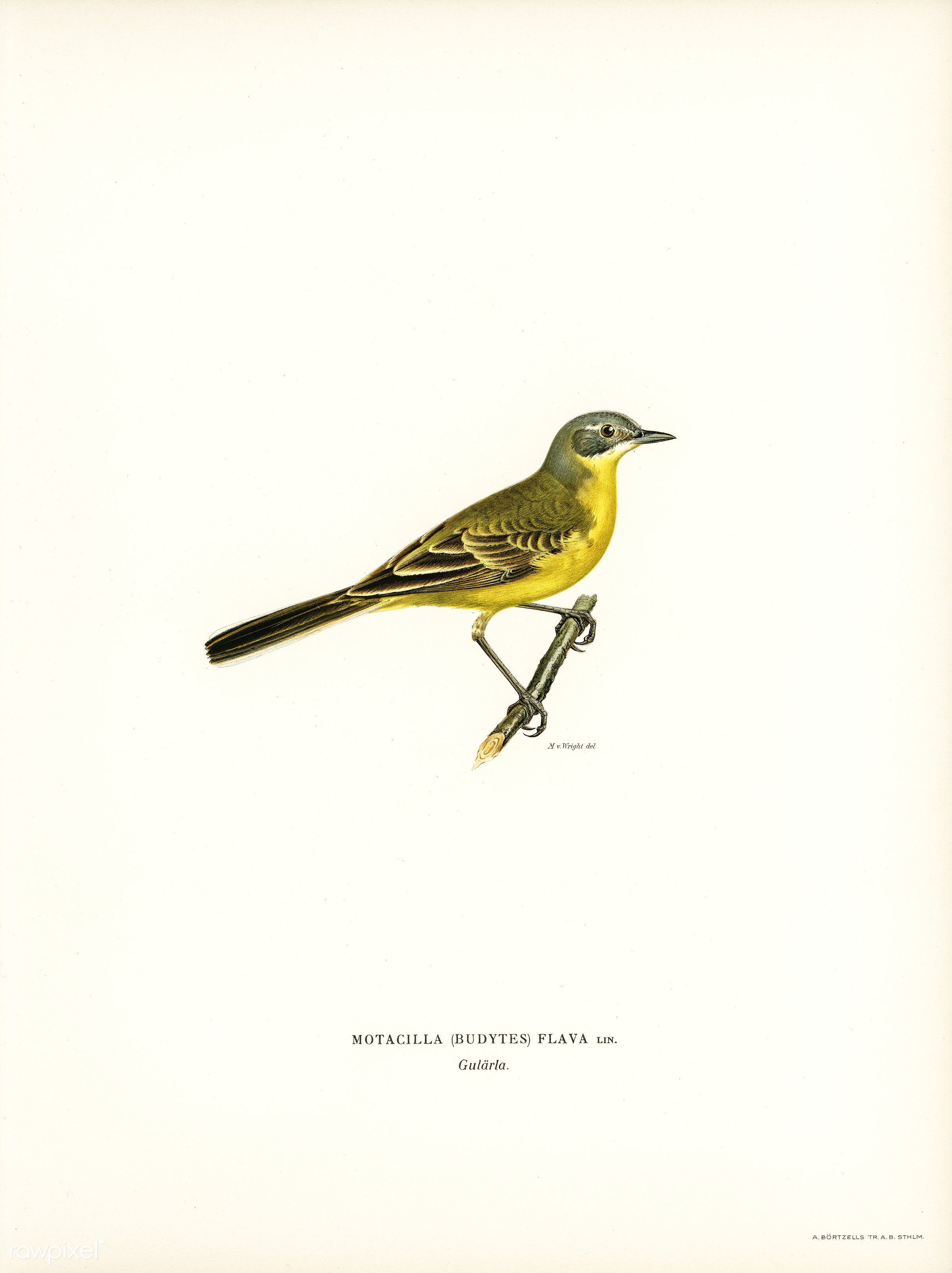 Western yellow wagtail (Motacilla [budytes] flava) illustrated by the von Wright brothers. Digitally enhanced from our own...