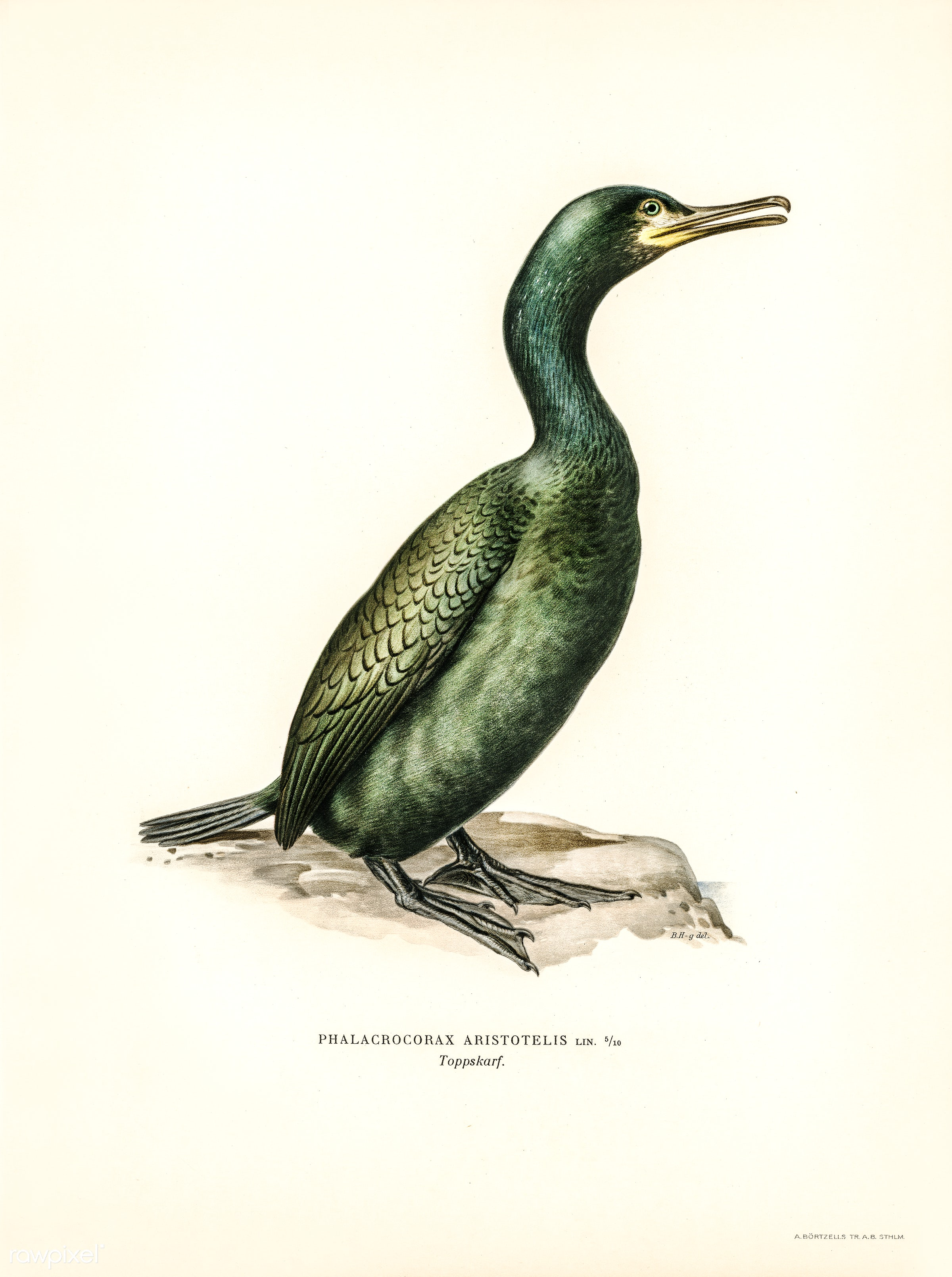 European shag (Phalacrocorax aristotelis) illustrated by the von Wright brothers. Digitally enhanced from our own 1929 folio...