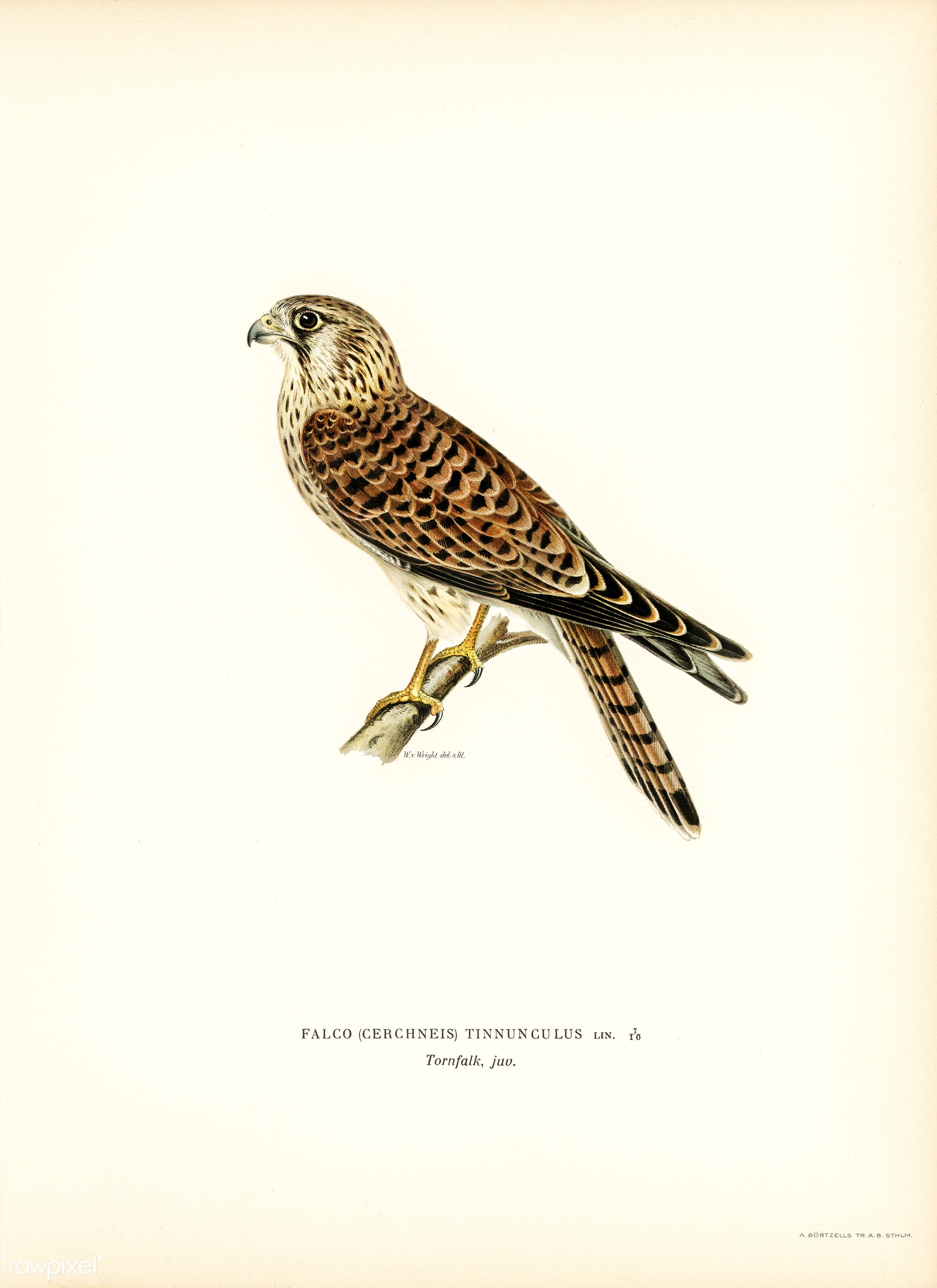 Common Kestrel (Falco tinnunculus) illustrated by the von Wright brothers. Digitally enhanced from our own 1929 folio...