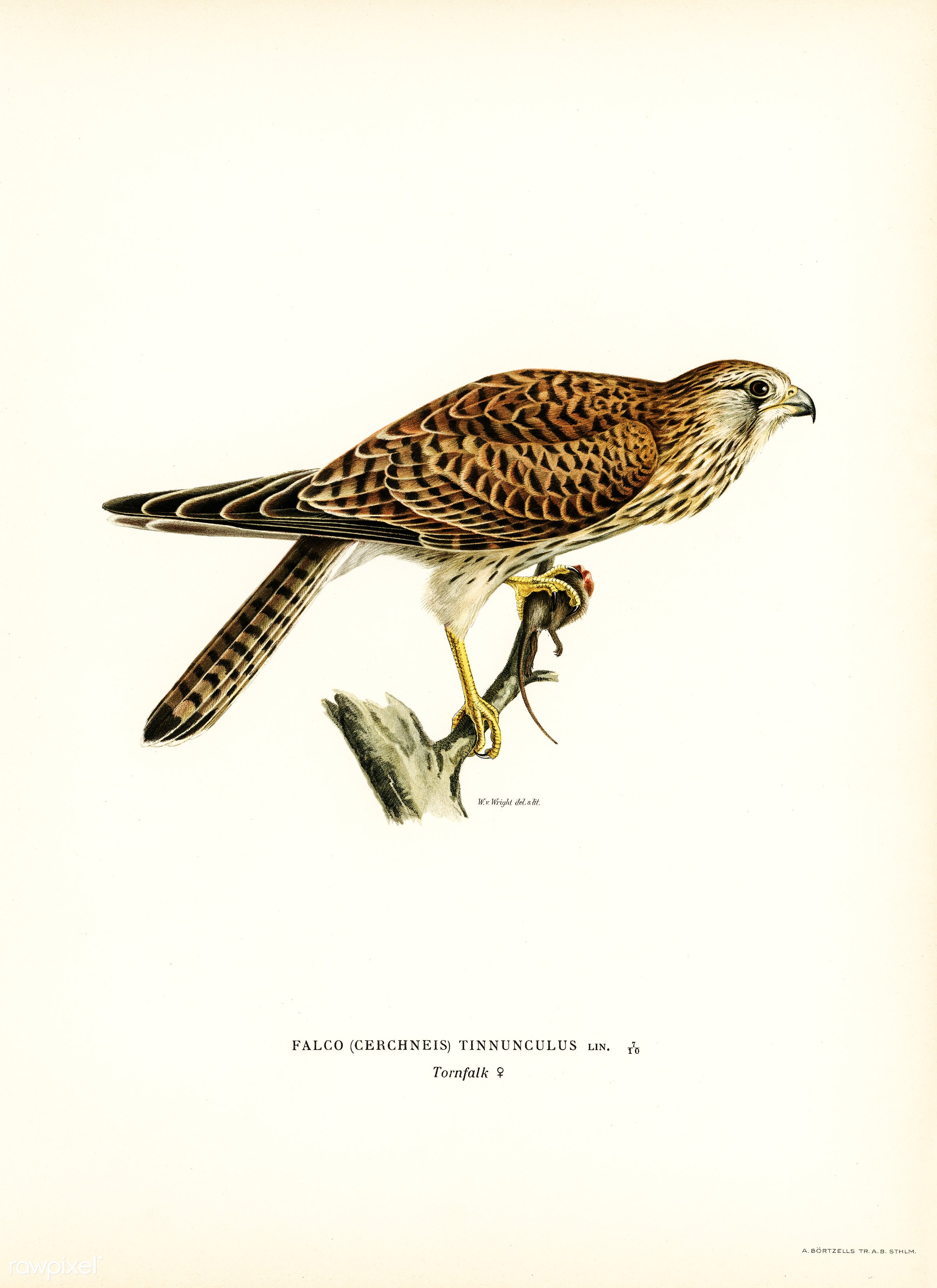 Common Kestrel female (Falco tinnunculus) illustrated by the von Wright brothers. Digitally enhanced from our own 1929 folio...