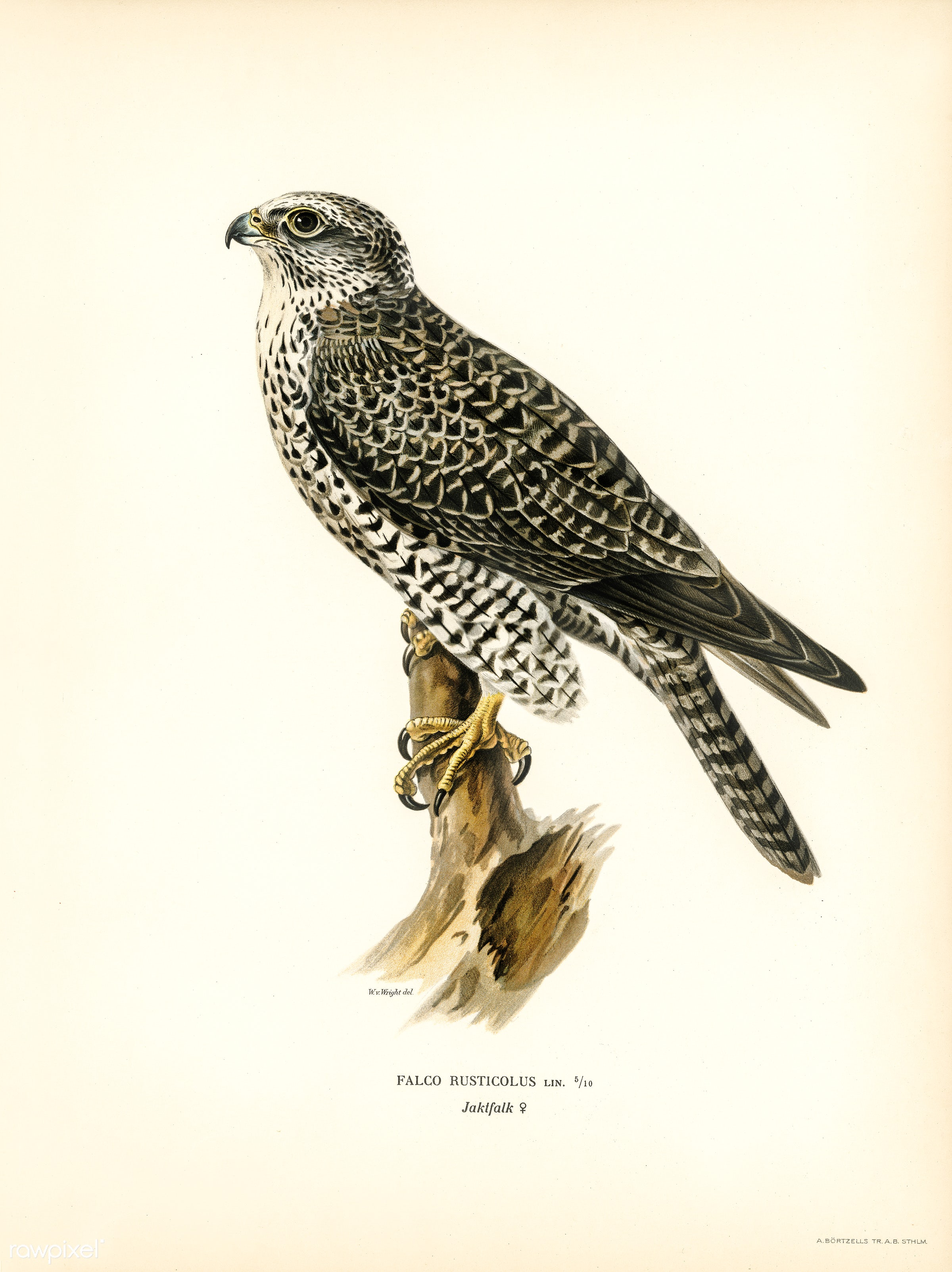 Gyrfalcon, Gyr Falcon male (Falco rusticolus) illustrated by the von Wright brothers. Digitally enhanced from our own 1929...