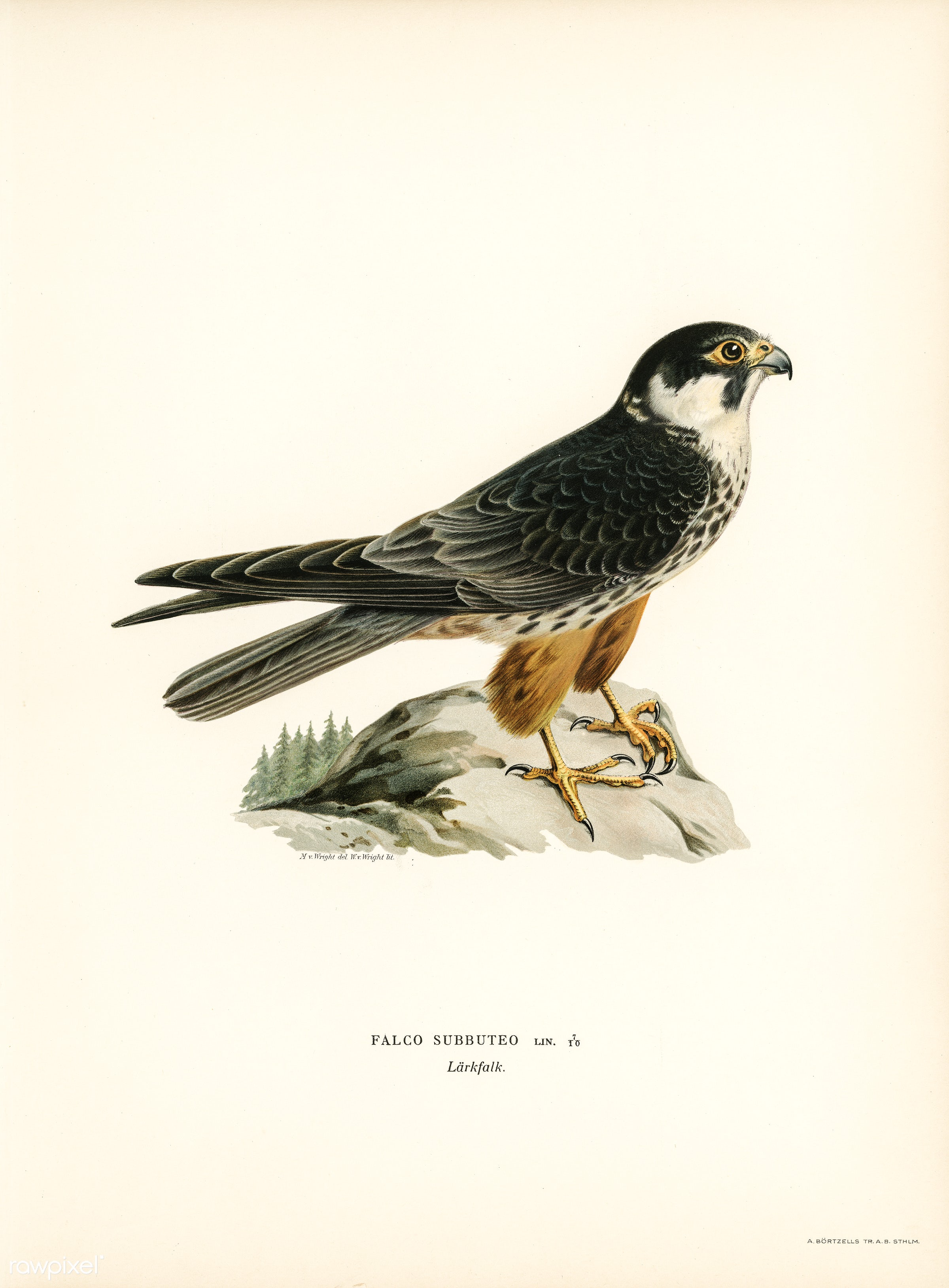 Eurasian Hobby (Falco subbuteo) illustrated by the von Wright brothers. Digitally enhanced from our own 1929 folio version...