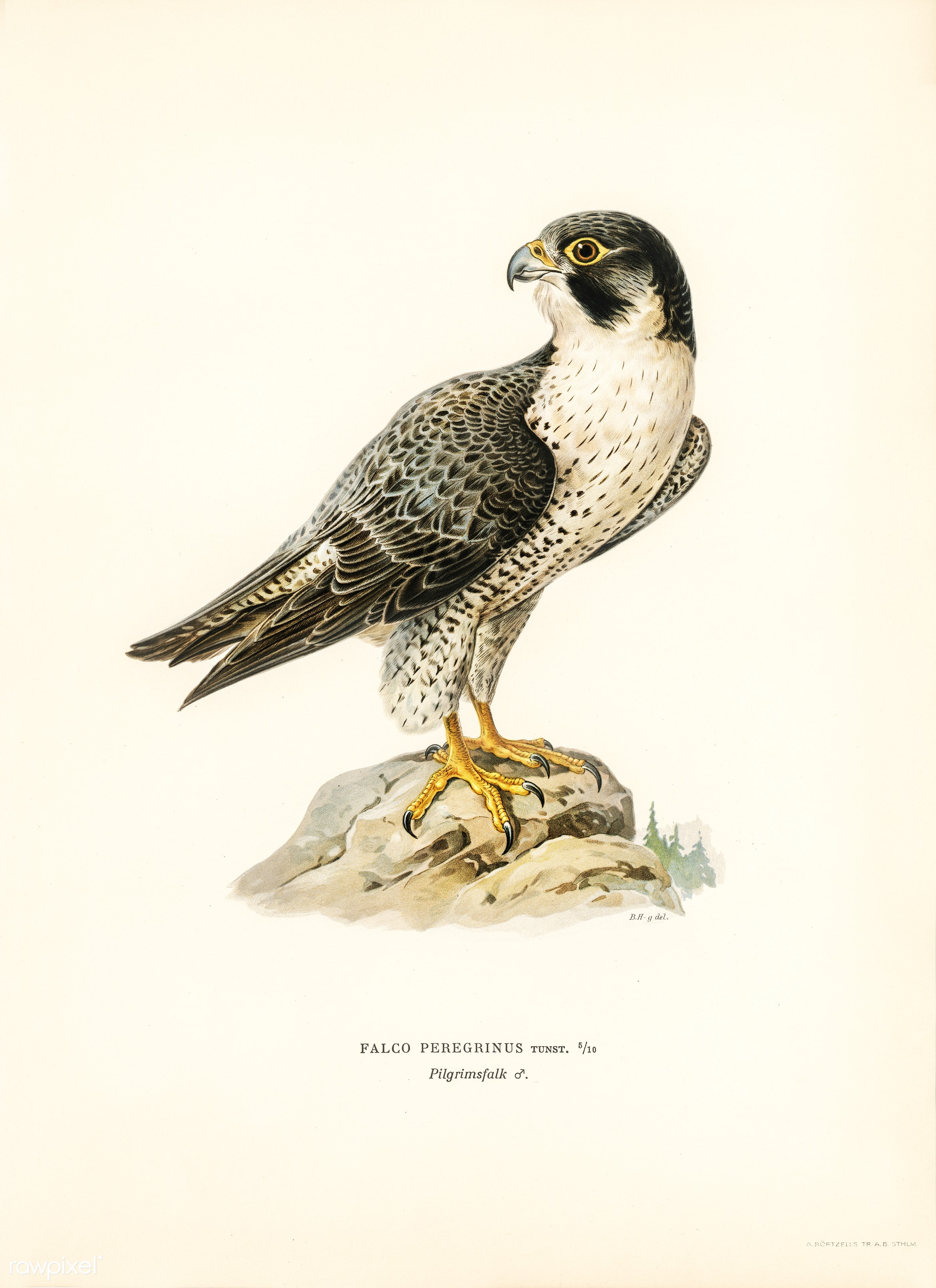 Peregrine Falcon (Falco peregrinus) illustrated by the von Wright brothers. Digitally enhanced from our own 1929 folio...