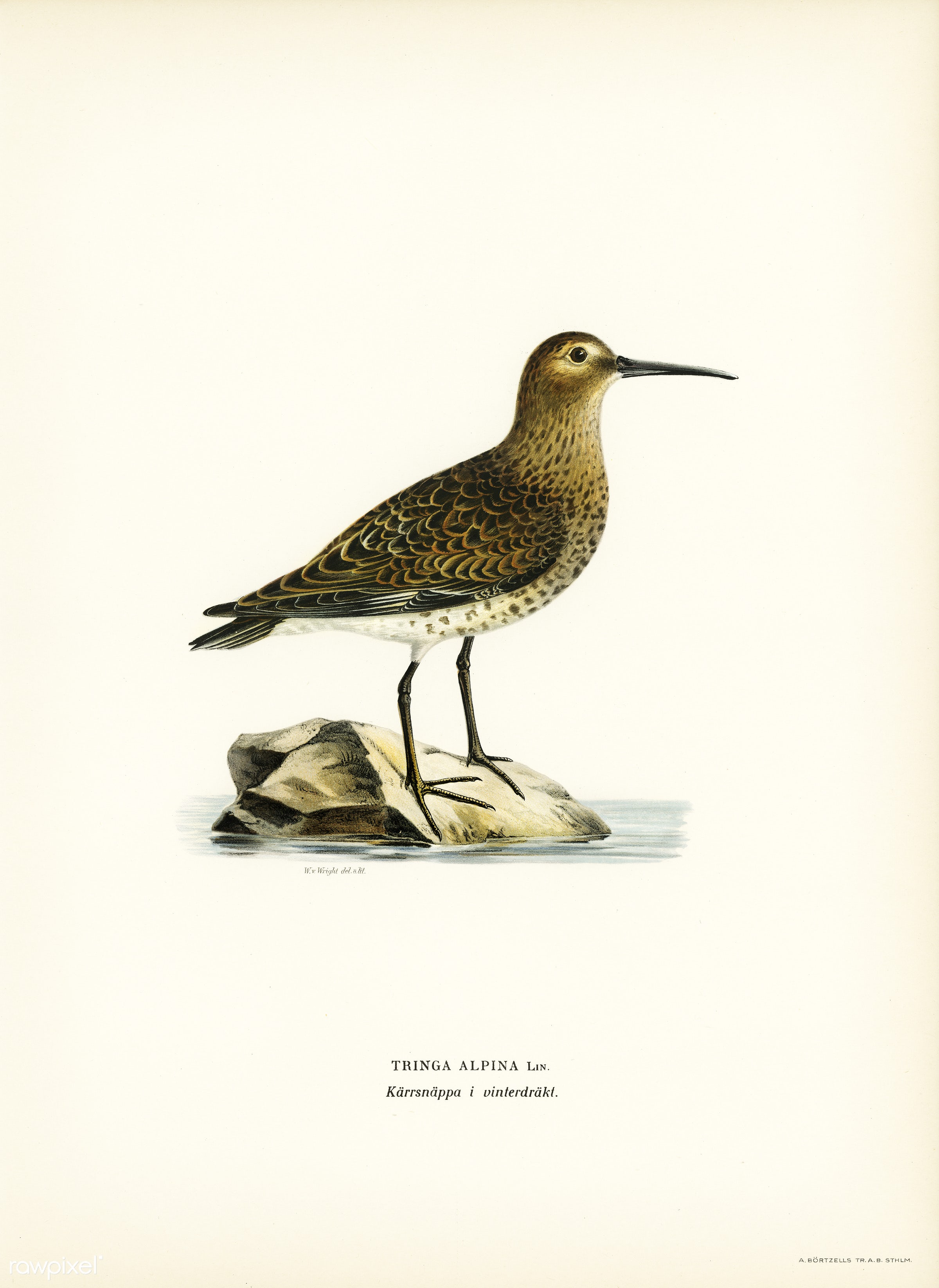 Dunlin (Tringa Alpina) illustrated by the von Wright brothers. Digitally enhanced from our own 1929 folio version of Svenska...