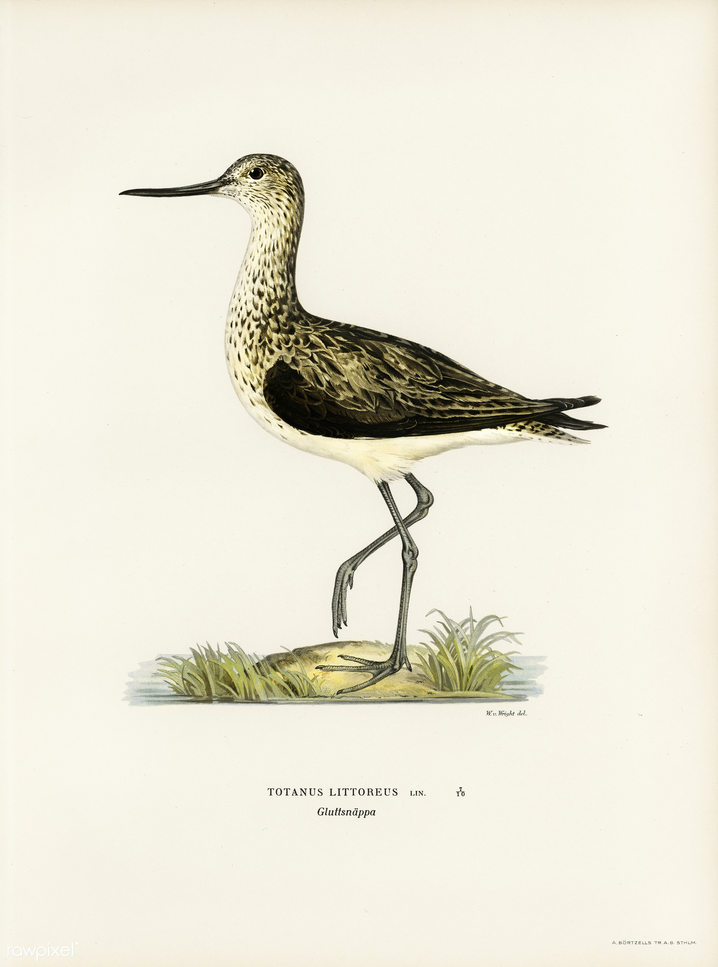 Greenshank (Totanus Littoreus) illustrated by the von Wright brothers. Digitally enhanced from our own 1929 folio version of...
