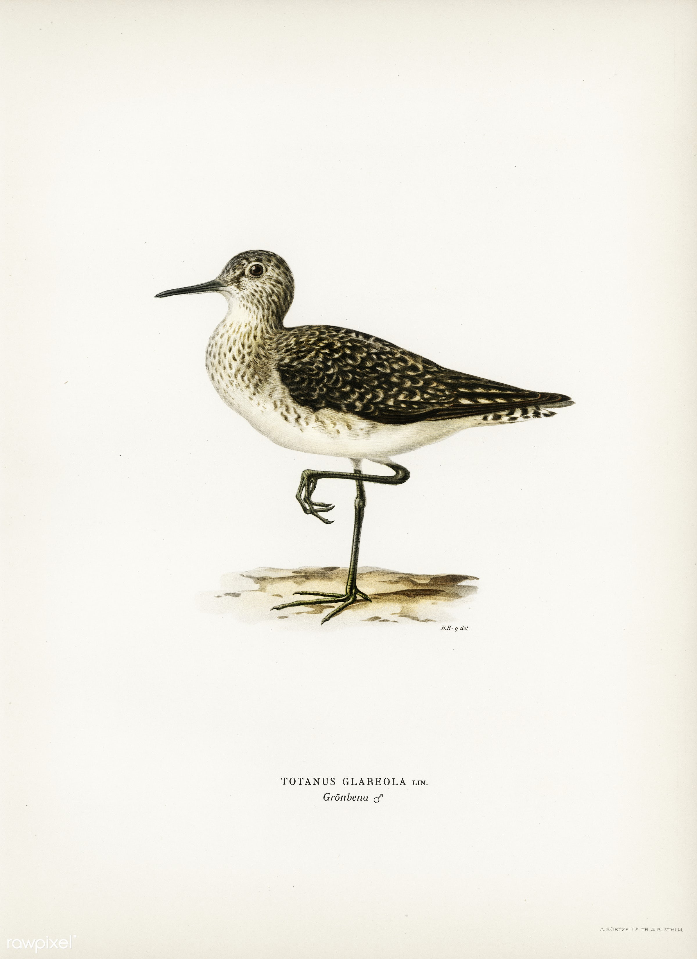 Wood Sandpiper (Totanus Glareola) illustrated by the von Wright brothers. Digitally enhanced from our own 1929 folio version...
