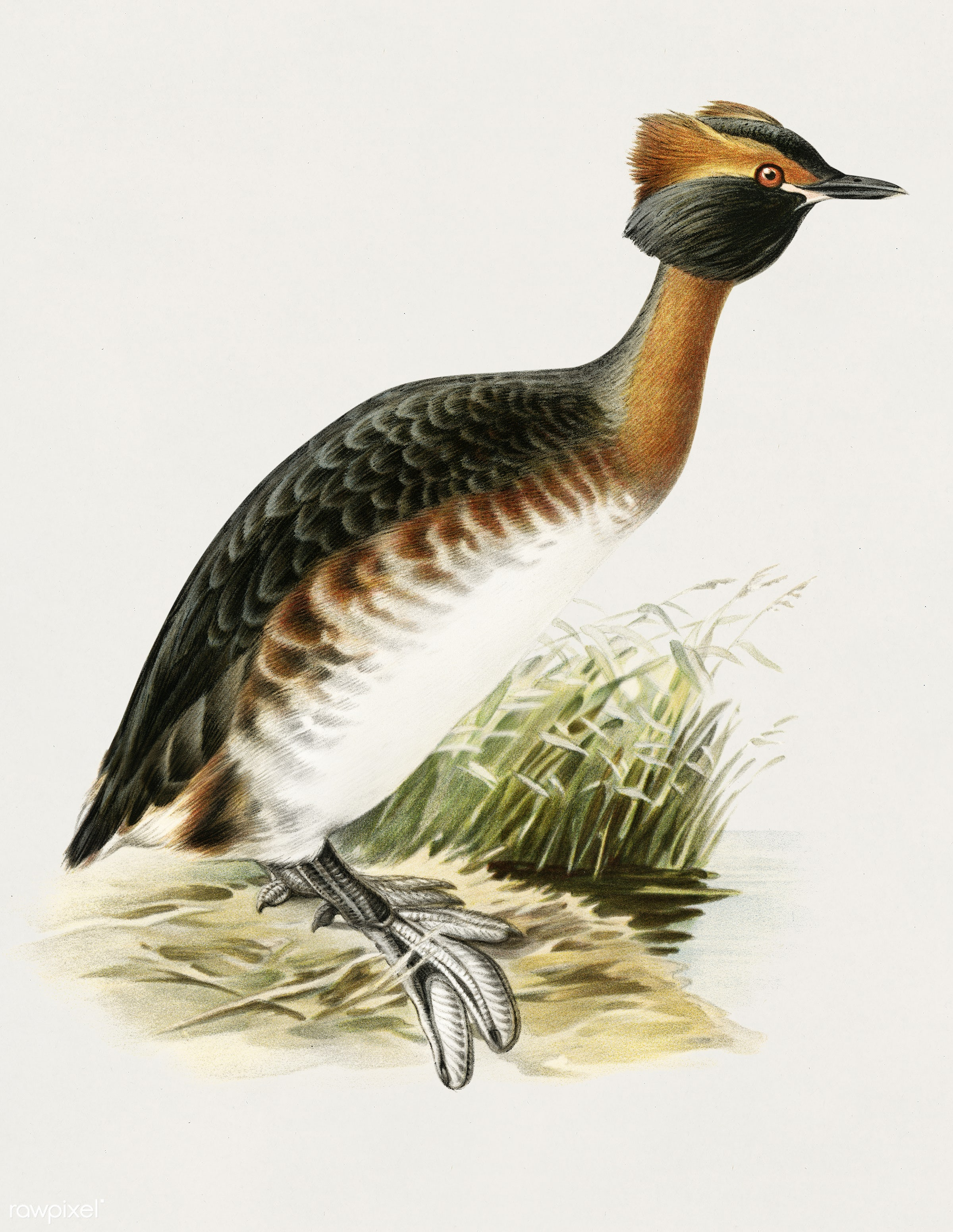 Horned grebe-in spring (Podiceps auritus) illustrated by the von Wright brothers. Digitally enhanced from our own 1929 folio...