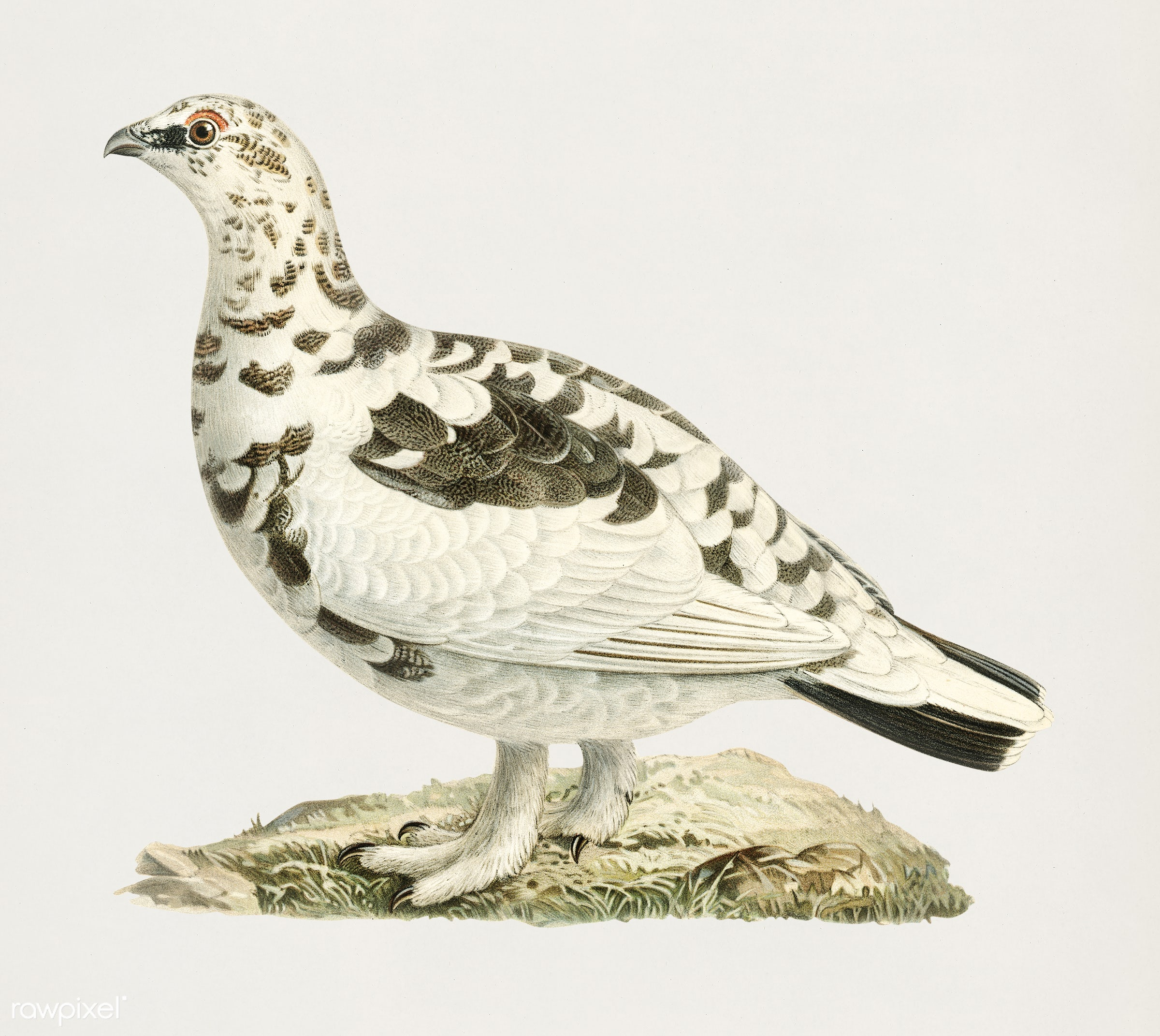 Rock ptarmigan (Lagopus mutus) illustrated by the von Wright brothers. Digitally enhanced from our own 1929 folio version of...