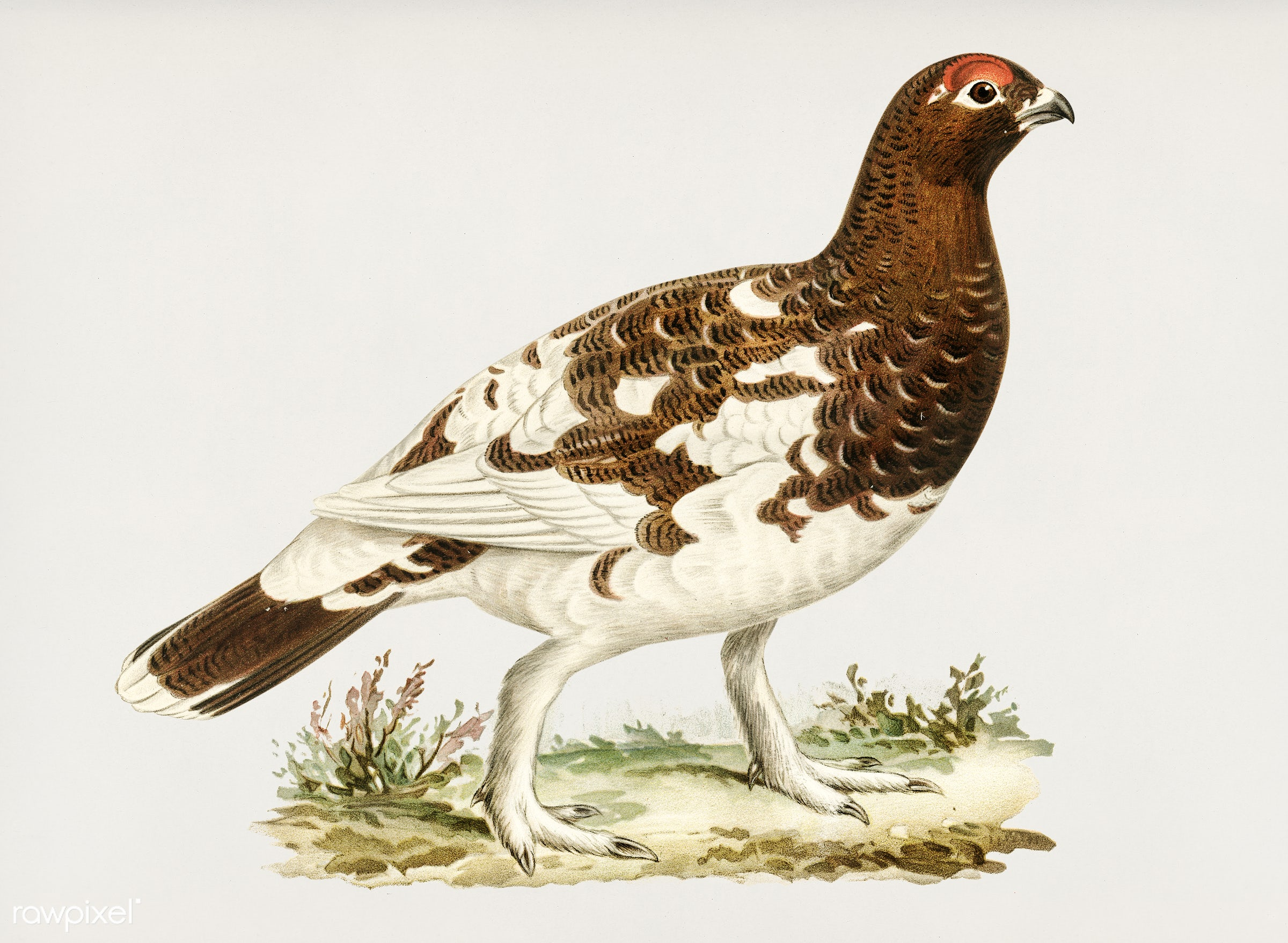 Willow ptarmigan illustrated by the von Wright brothers. Digitally enhanced from our own 1929 folio version of Svenska F...