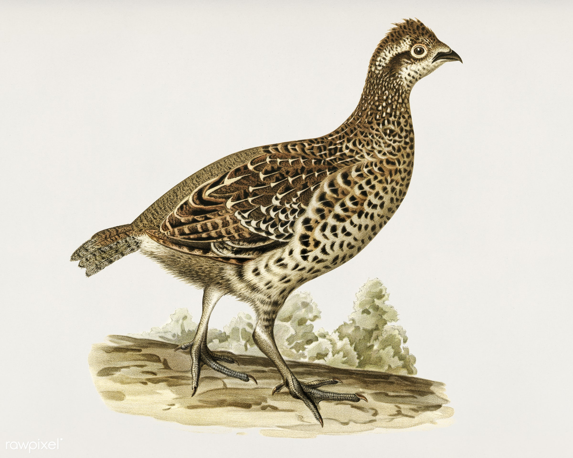 Hazel grouse (tetrastes bonasia) illustrated by the von Wright brothers. Digitally enhanced from our own 1929 folio version...