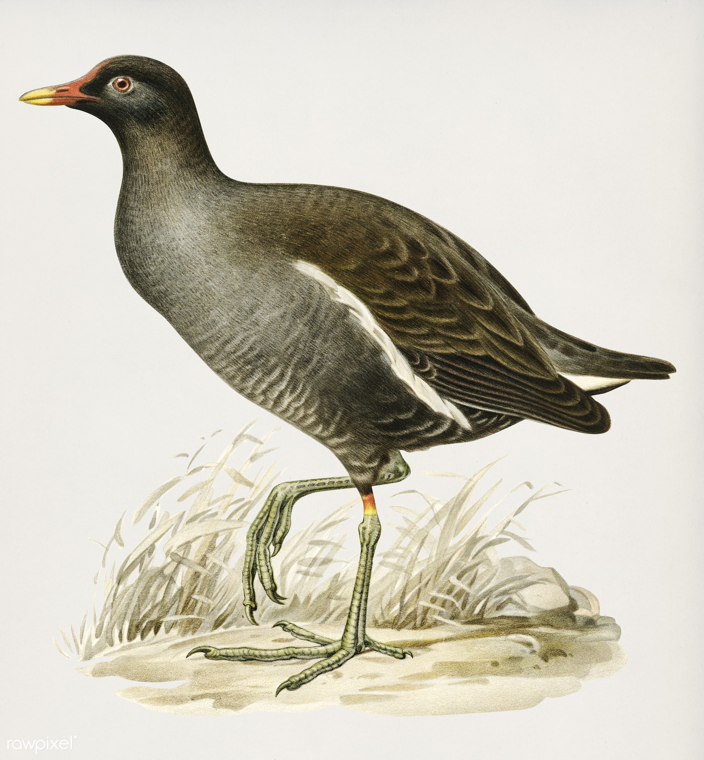 Common moorhen (Gallinula chloropus) illustrated by the von Wright brothers. Digitally enhanced from our own 1929 folio...