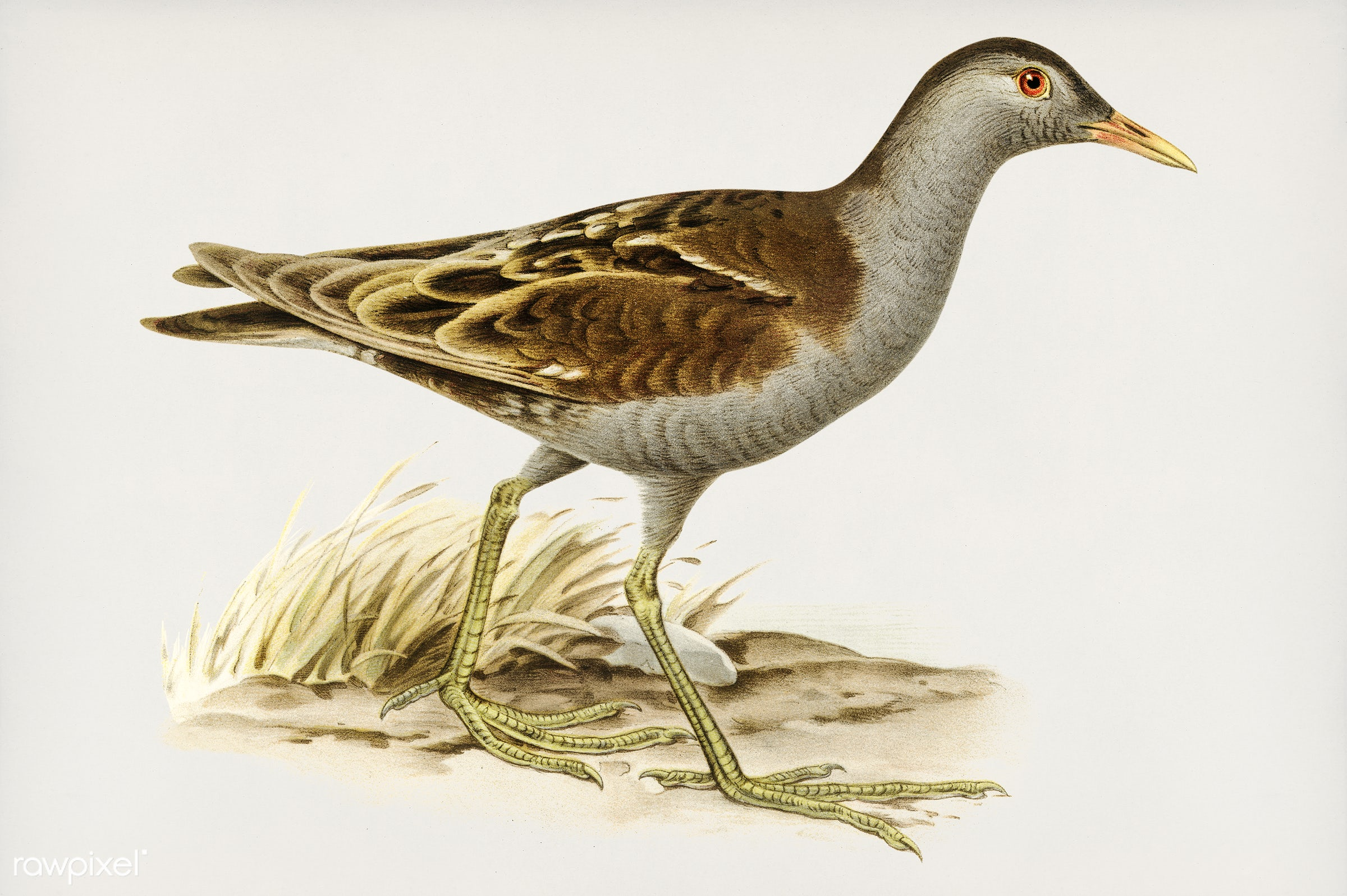 Little crake (porzana parva) illustrated by the von Wright brothers. Digitally enhanced from our own 1929 folio version of...