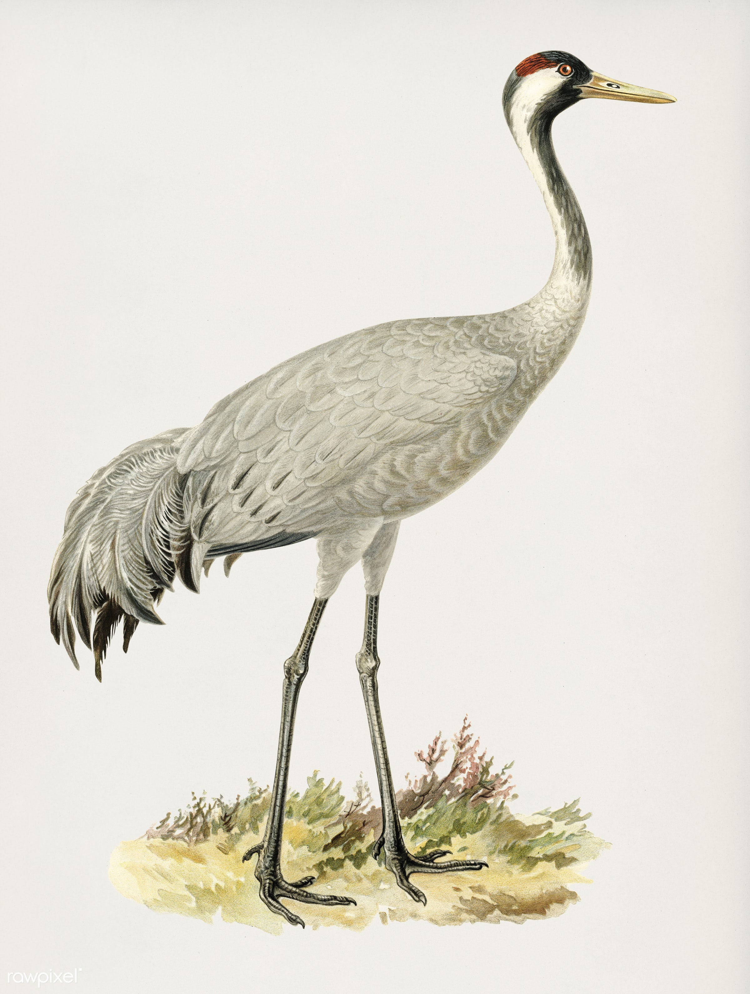 Common Crane (Grus Grus) illustrated by the von Wright brothers. Digitally enhanced from our own 1929 folio version of...