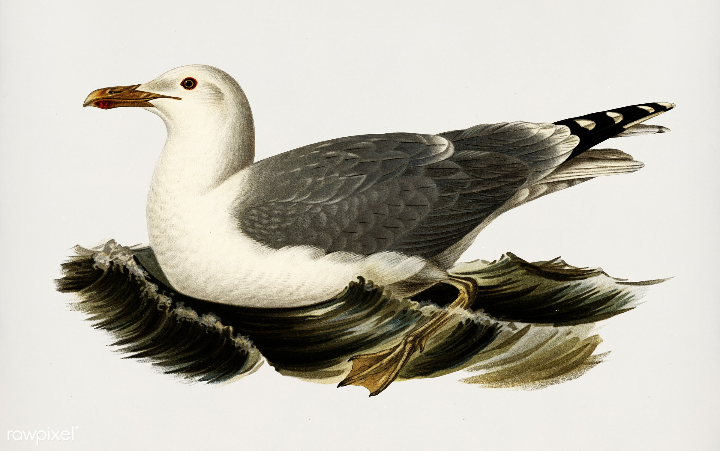 European herring gull (Larus Argentatus) illustrated by the von Wright brothers. Digitally enhanced from our own 1929 folio...