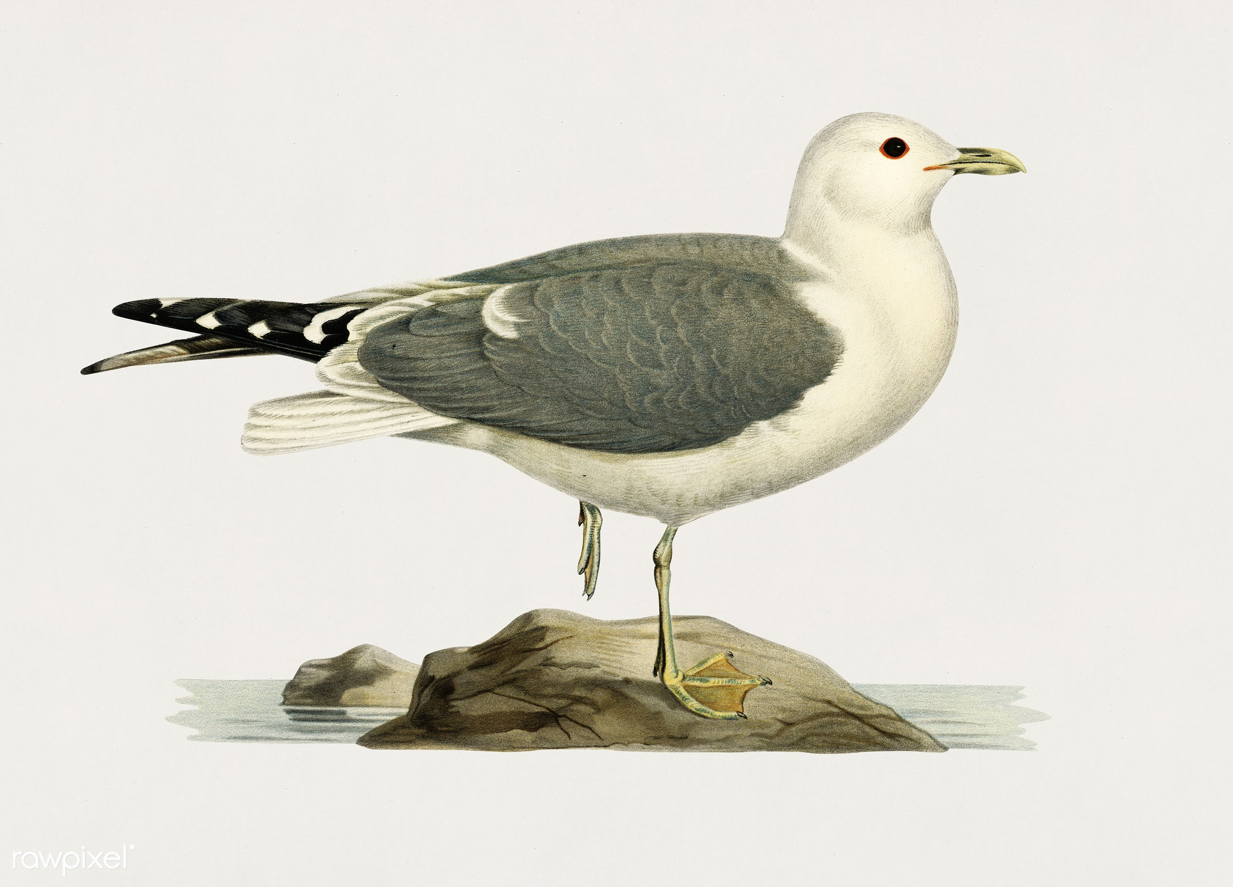 Common gull (larus canu) illustrated by the von Wright brothers. Digitally enhanced from our own 1929 folio version of...