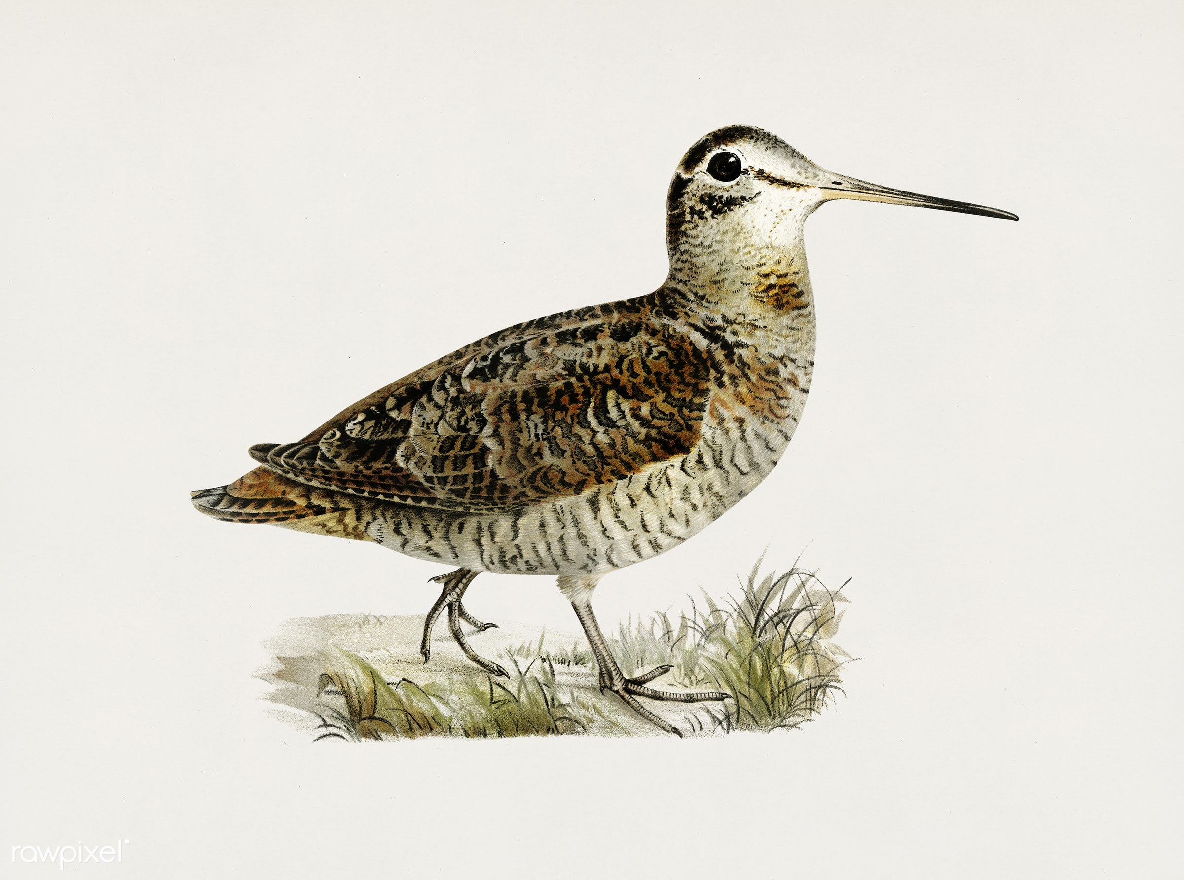 Eurasian woodcock (Scolopax rusticola) illustrated by the von Wright brothers. Digitally enhanced from our own 1929 folio...