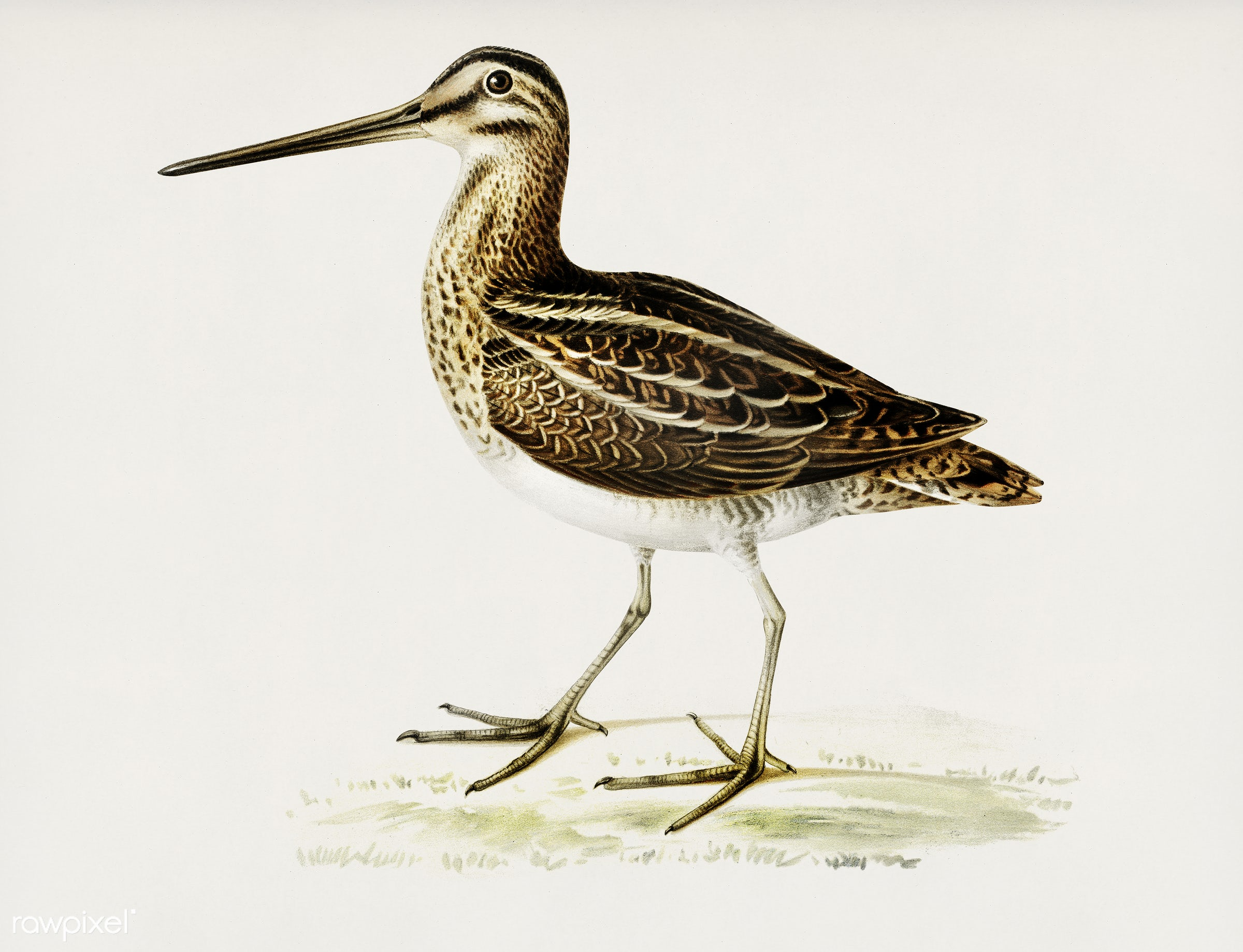 Common snipe (capella gallinago) illustrated by the von Wright brothers. Digitally enhanced from our own 1929 folio version...