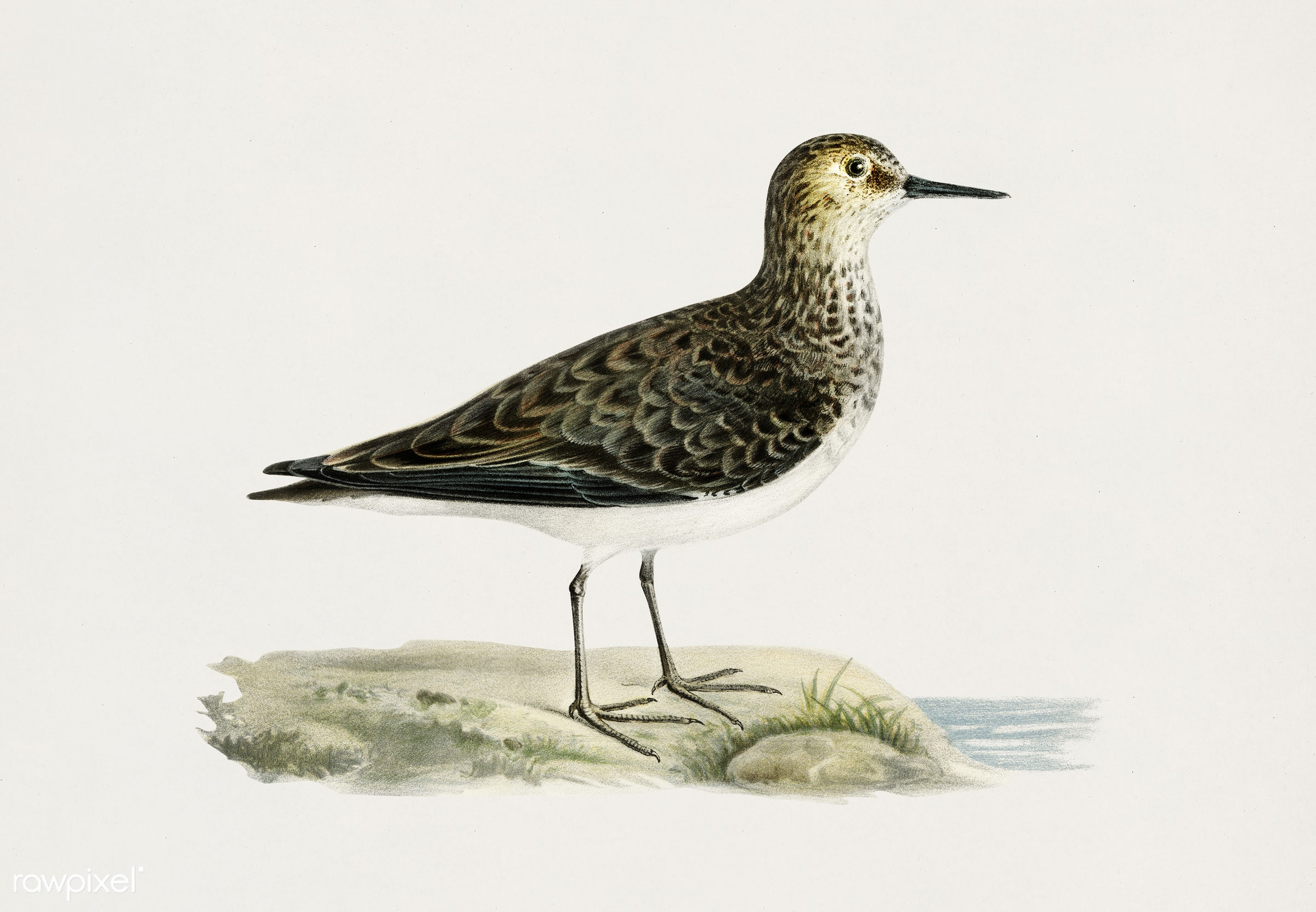 Temminck's Stint (Tringa temminckii) illustrated by the von Wright brothers. Digitally enhanced from our own 1929 folio...