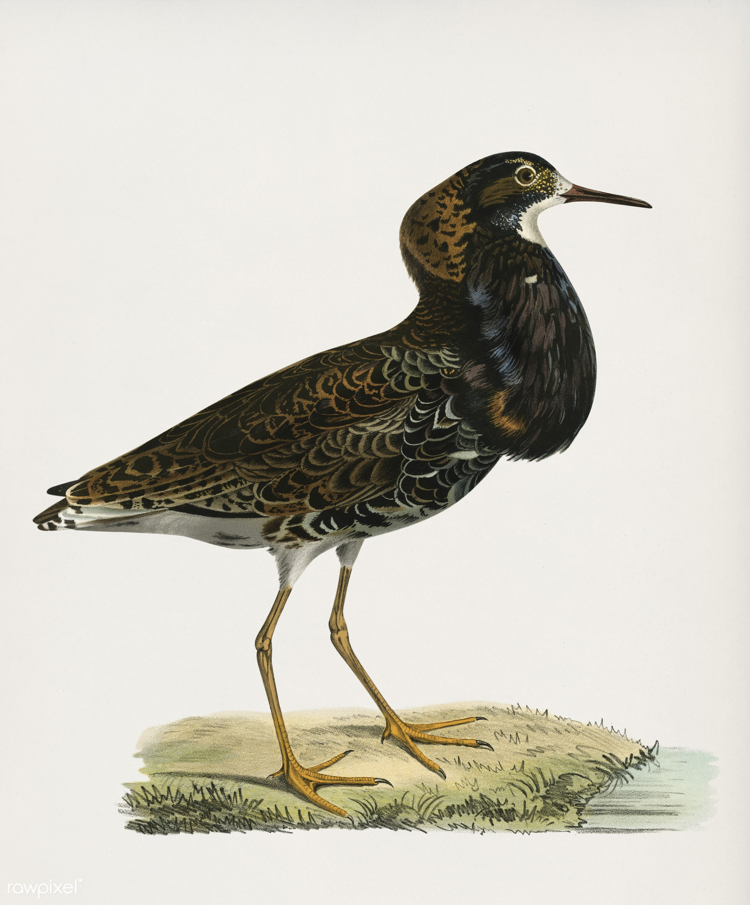 Ruff ♂(Pavoncella pugnaxr) illustrated by the von Wright brothers. Digitally enhanced from our own 1929 folio version of...