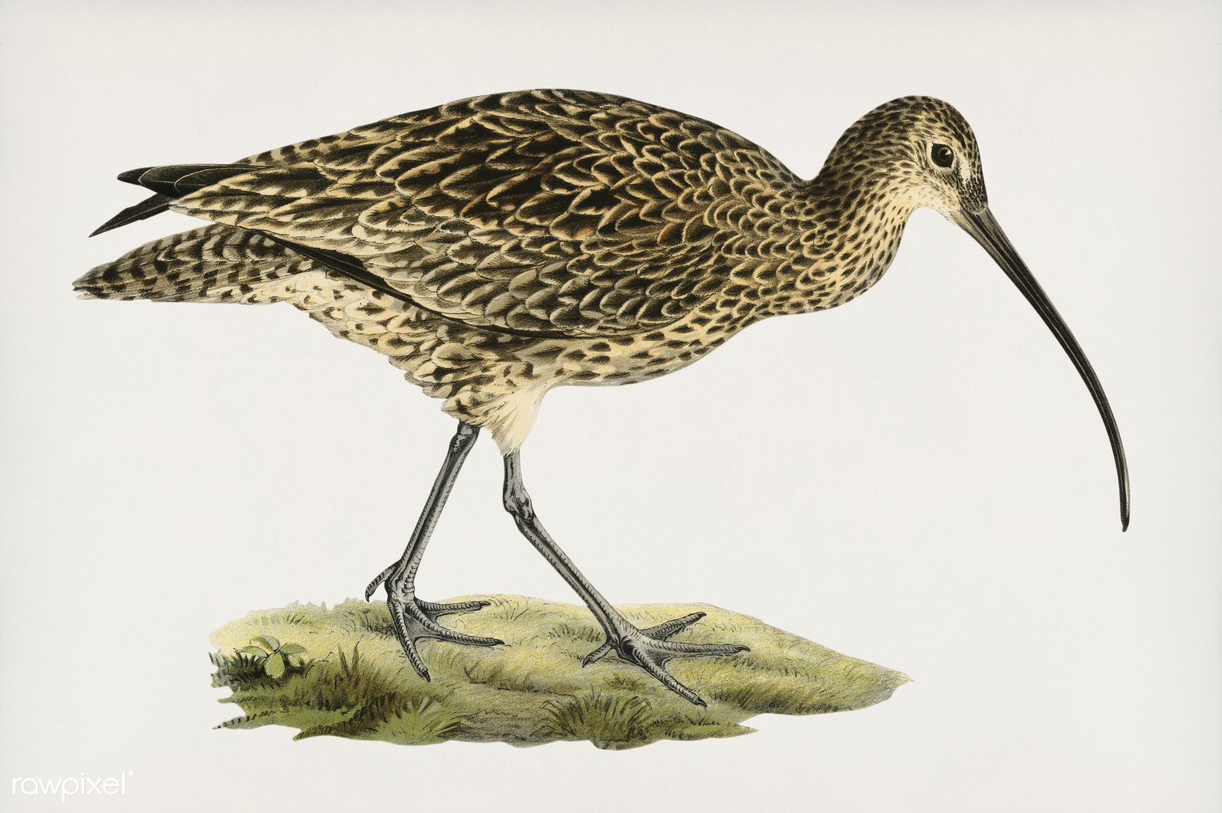 Eurasian curlew (Numenius arquatusf) illustrated by the von Wright brothers. Digitally enhanced from our own 1929 folio...