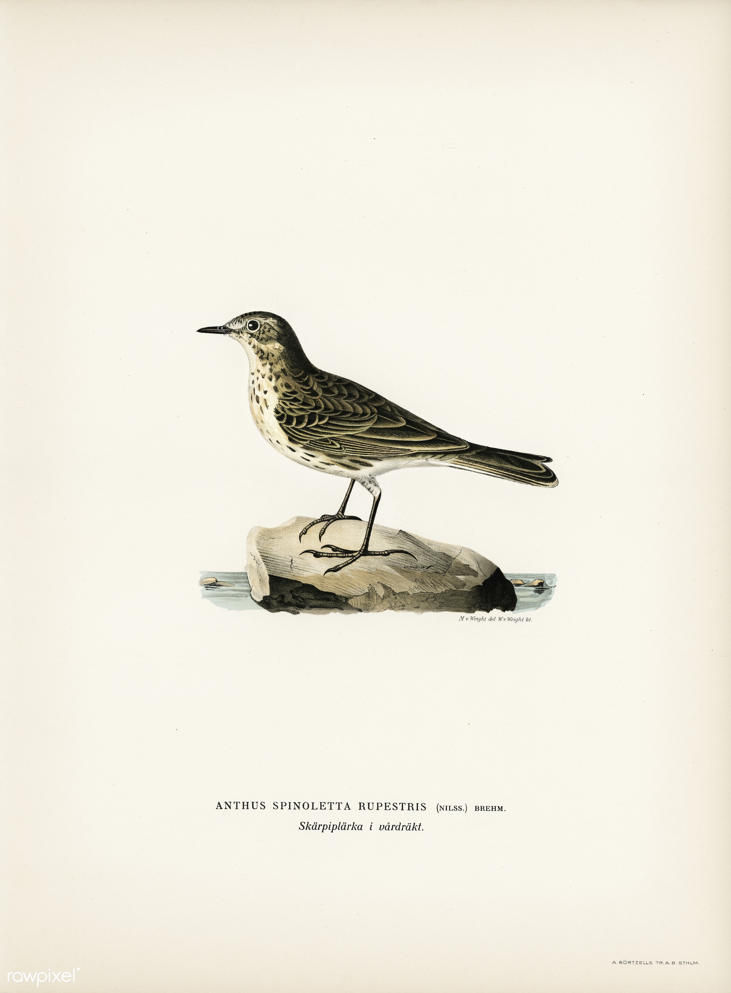 Water pipi (ANTHUS SPINOLETTA RUPESTRIS) illustrated by the von Wright brothers. Digitally enhanced from our own 1929 folio...