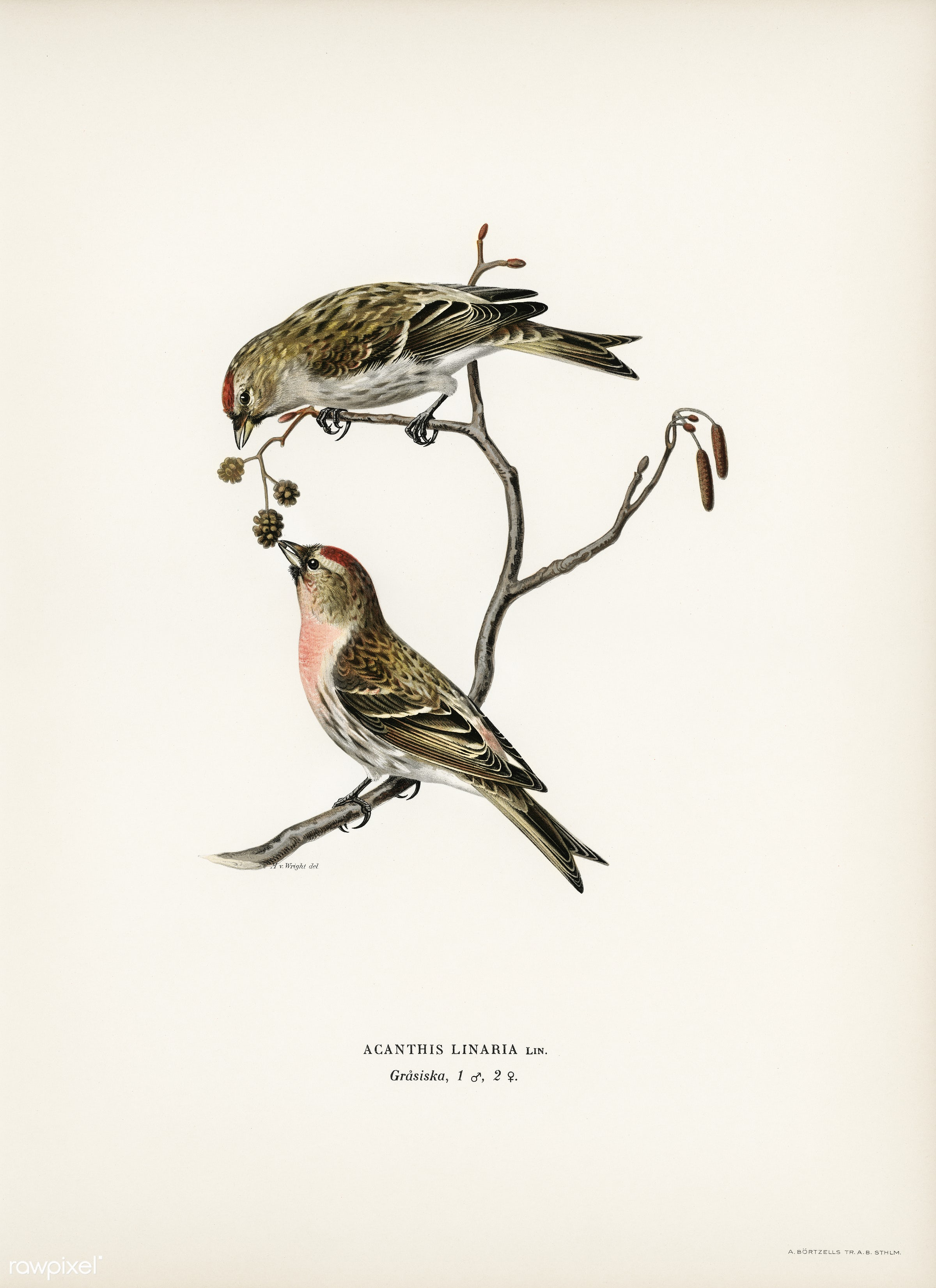 common linnet (Acanthis linaria) illustrated by the von Wright brothers. Digitally enhanced from our own 1929 folio version...