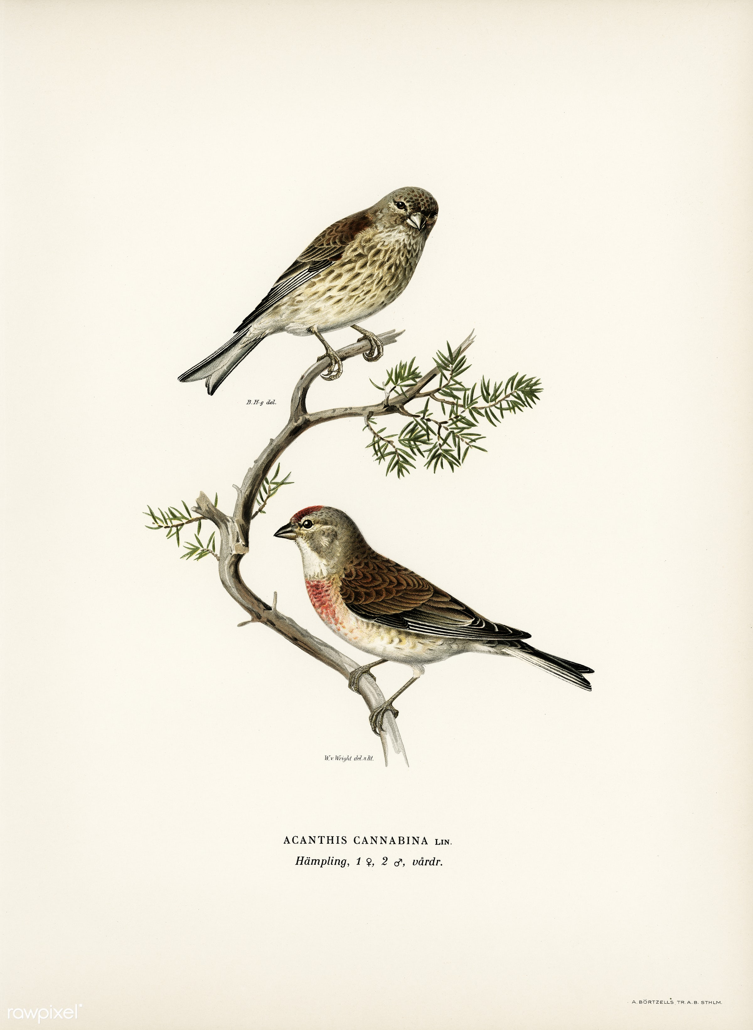 Common linnet (Acanthis cannabina) illustrated by the von Wright brothers. Digitally enhanced from our own 1929 folio...